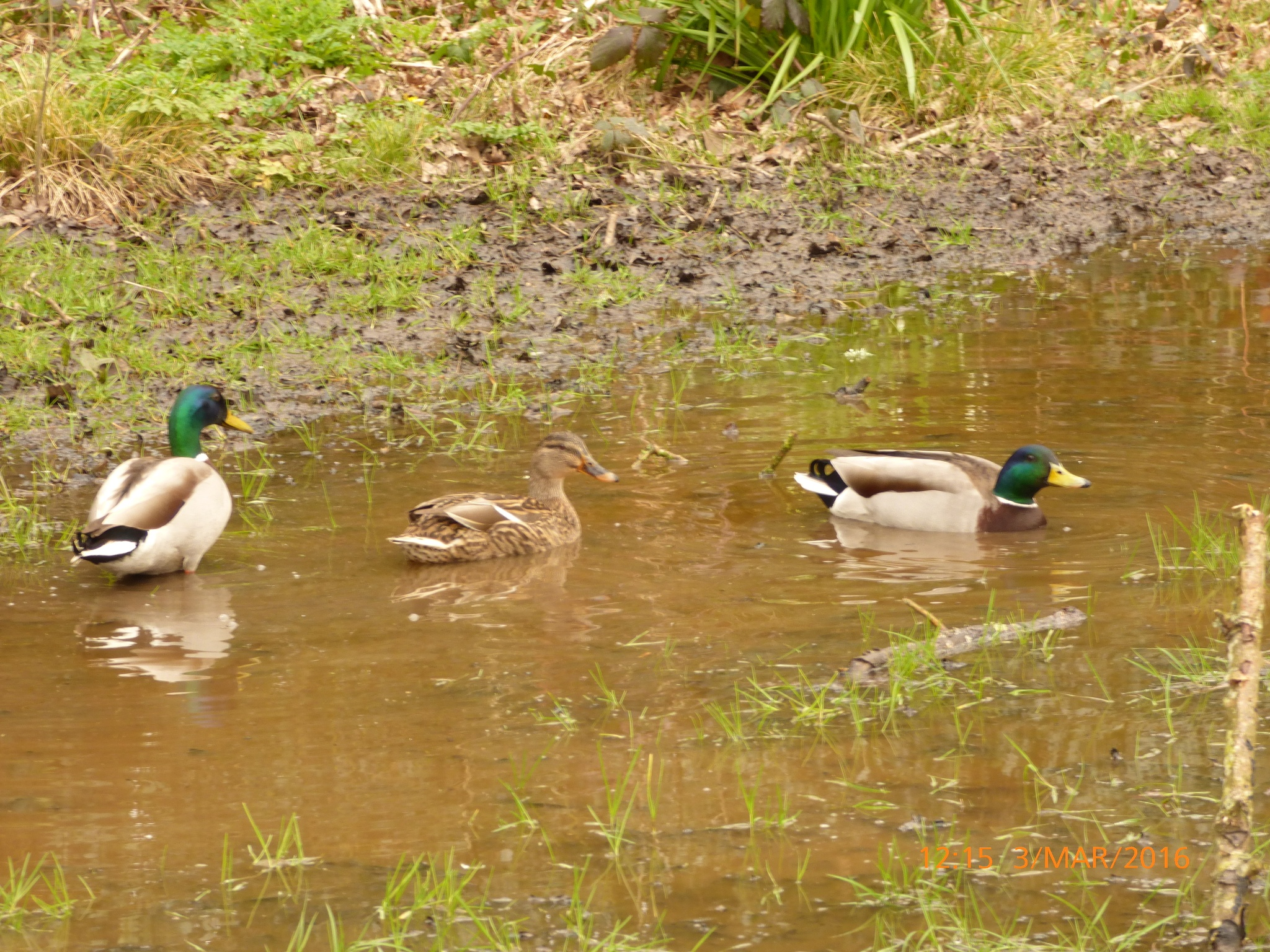 3 ducks enjoying the puddle  by chinaclowns2
