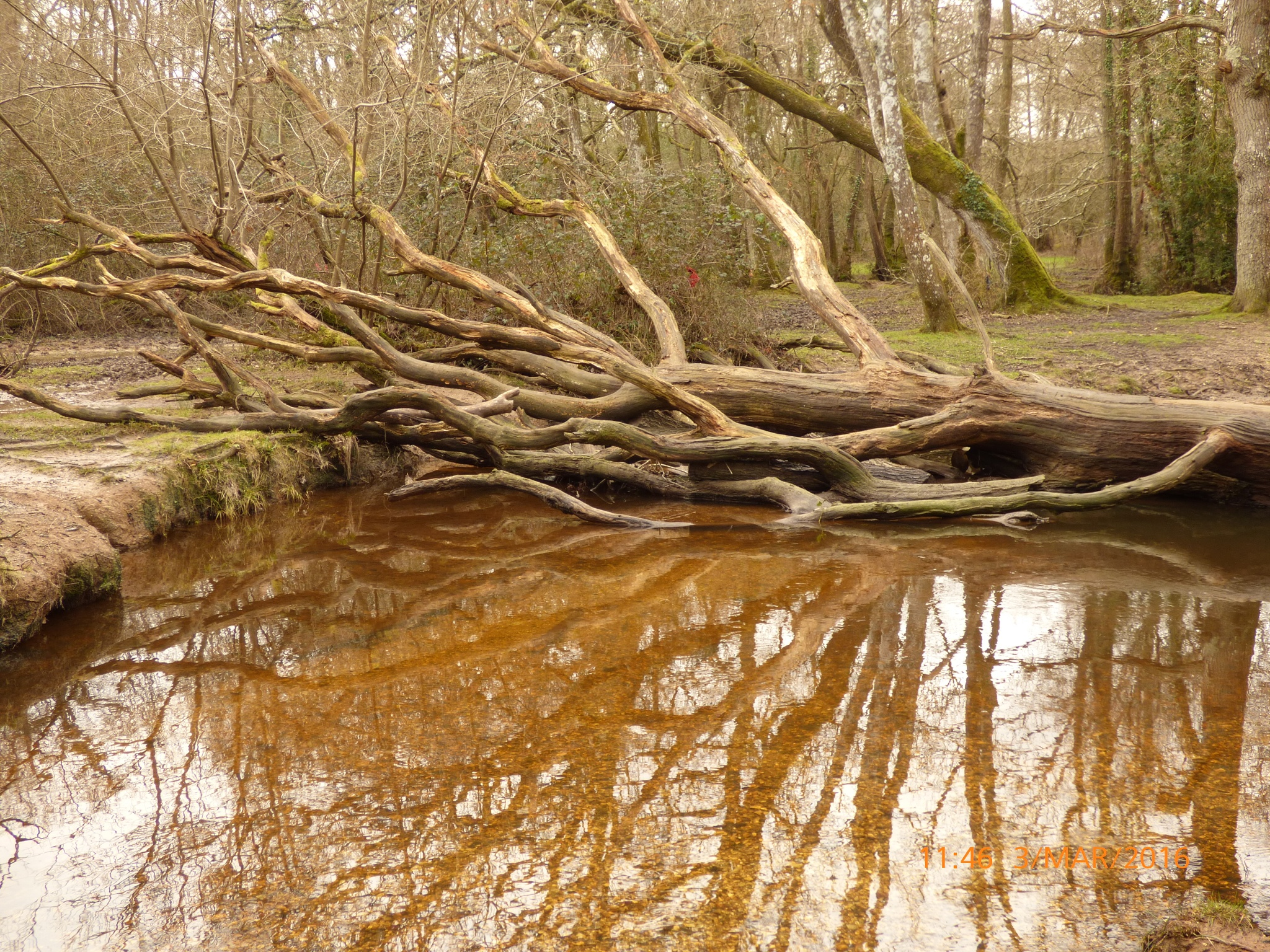 a tree in the New Forest at the stream by chinaclowns2