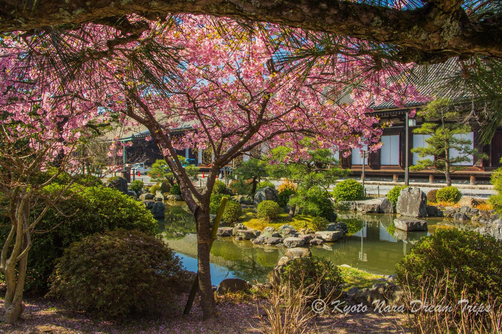 Kawazu Sakura at Sanjūsangen-dō in Kyōto. by KyotoNaraDreamTrips
