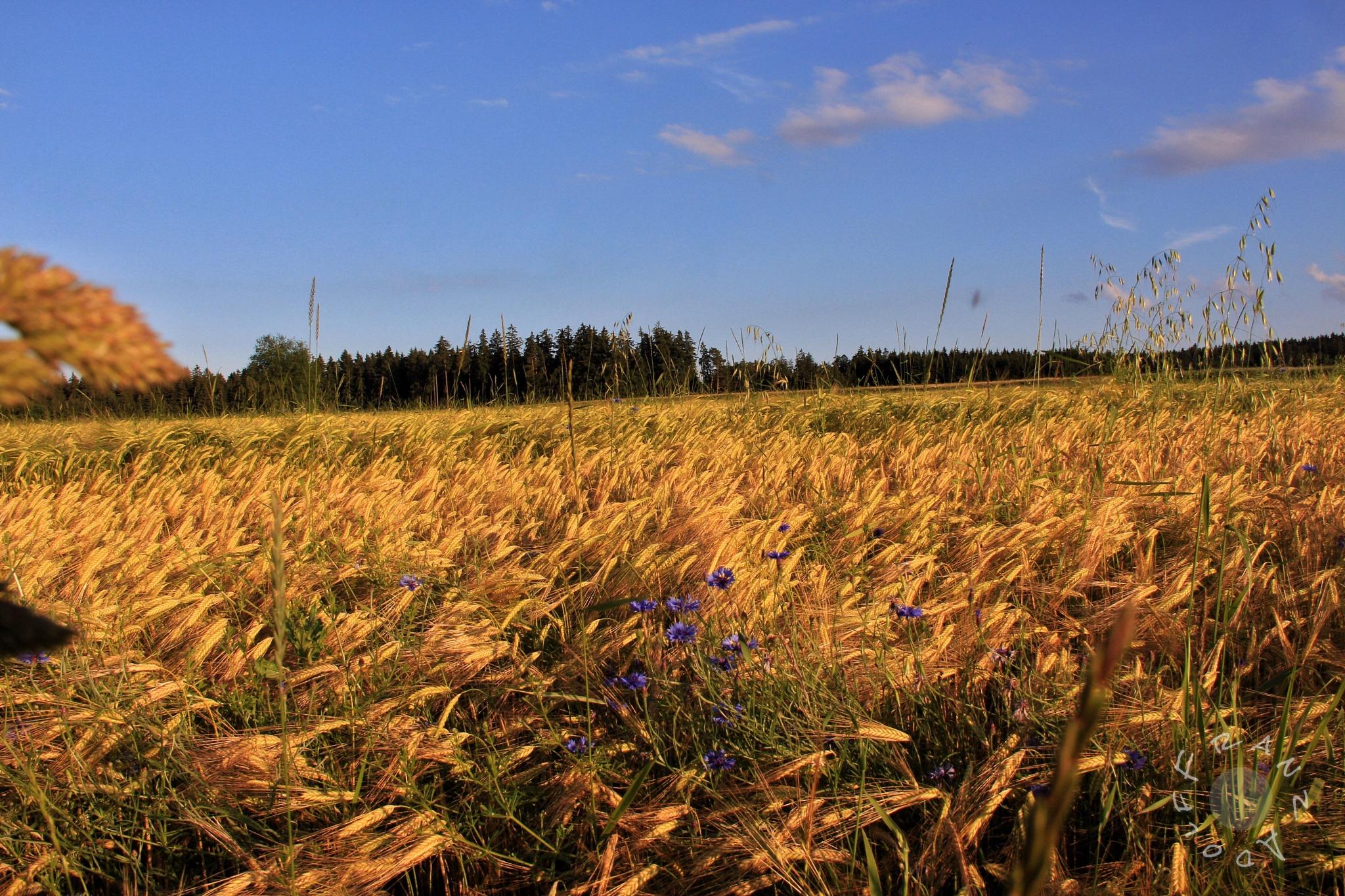wheat field In Sunset in Ratschenhof in Austria  by Franzl