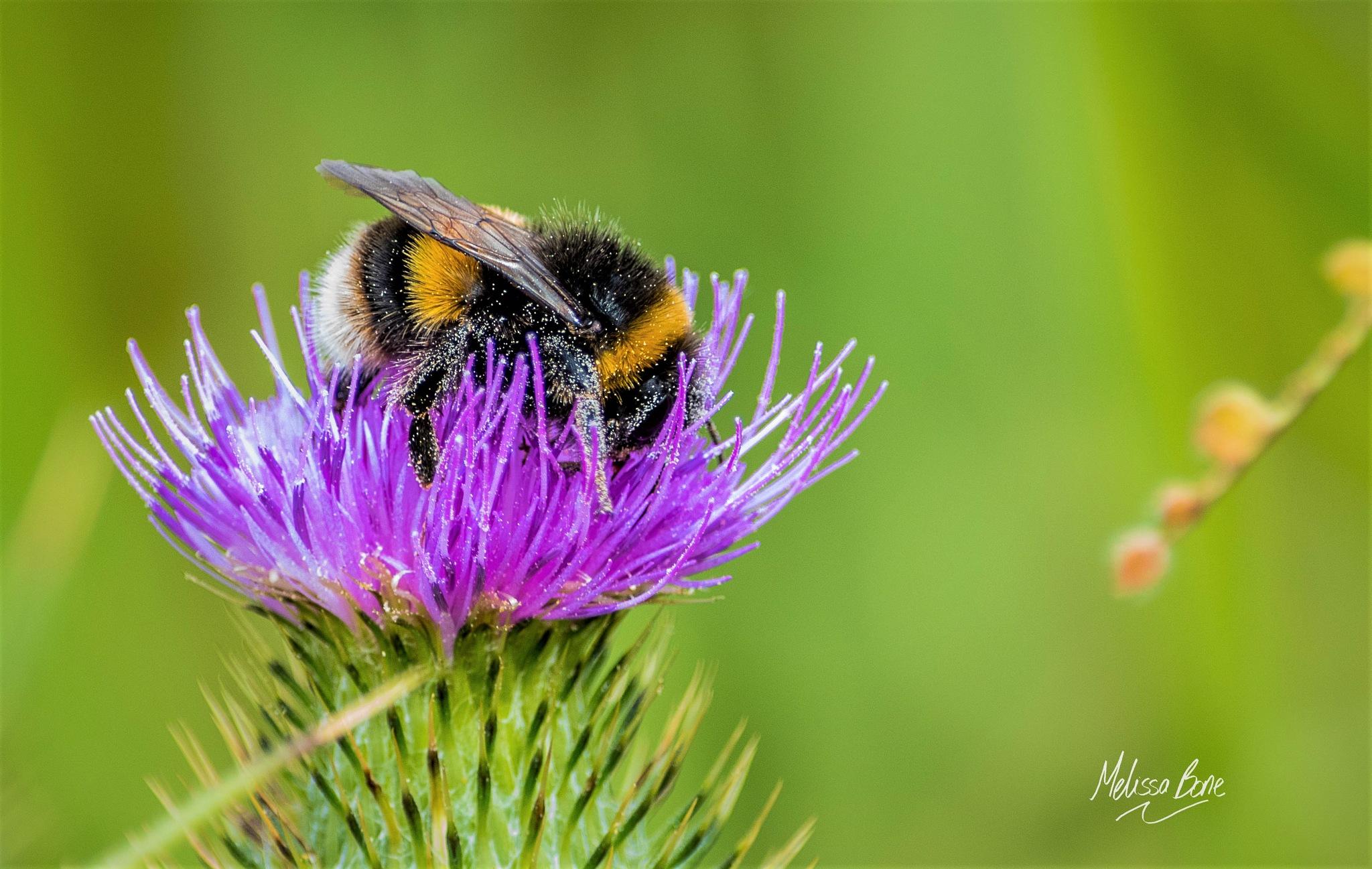 Humble bumble bee by Melissa Bone