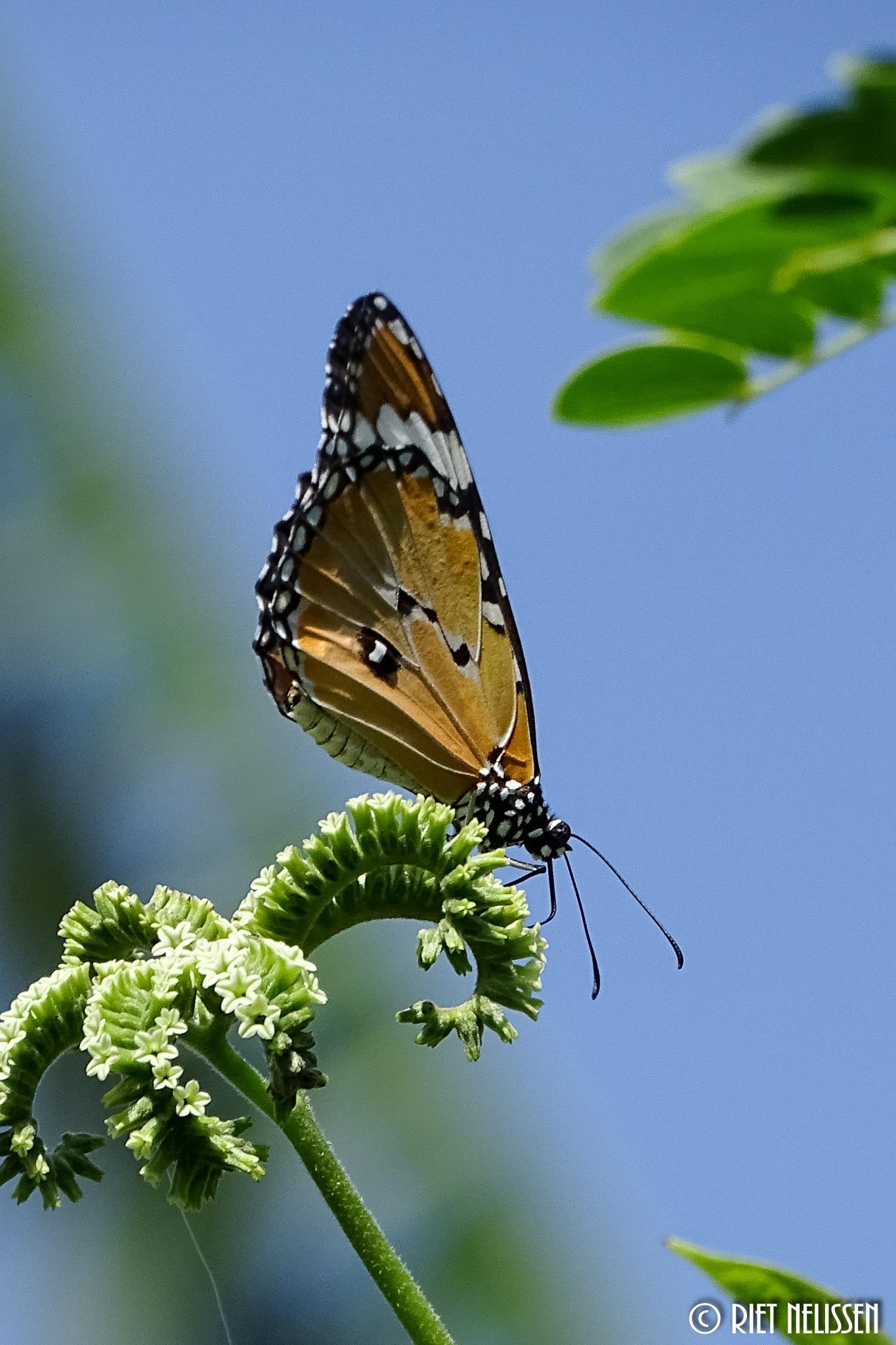 #butterfly by nelisser