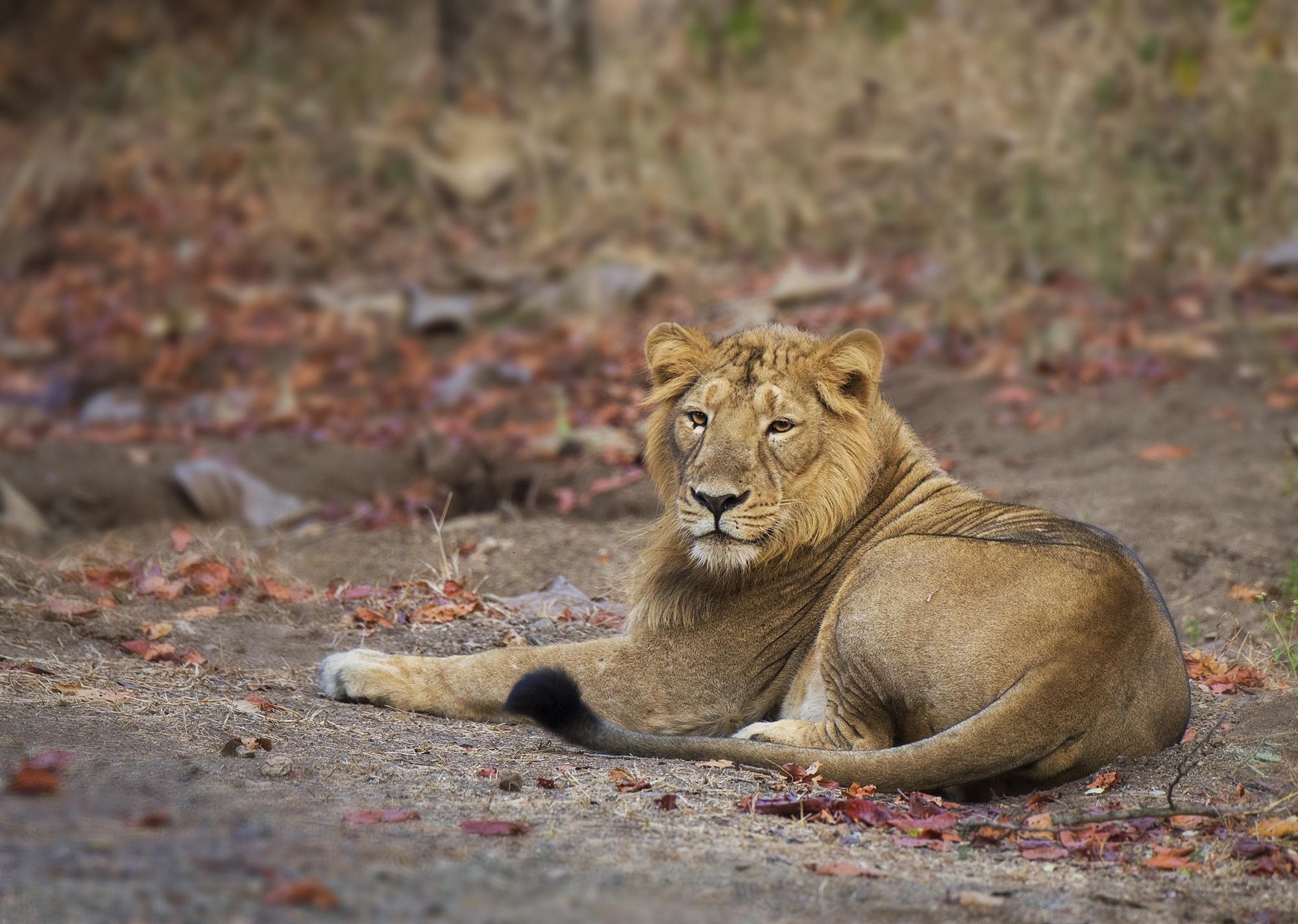 Asiatic Lion. by Jignesh Minaxi