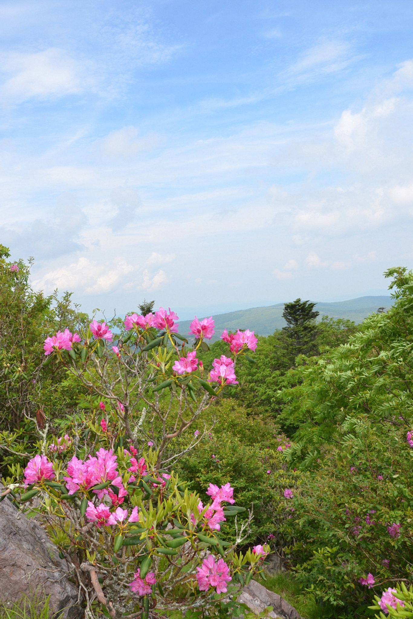 Rhododendron Gap by Elizabeth