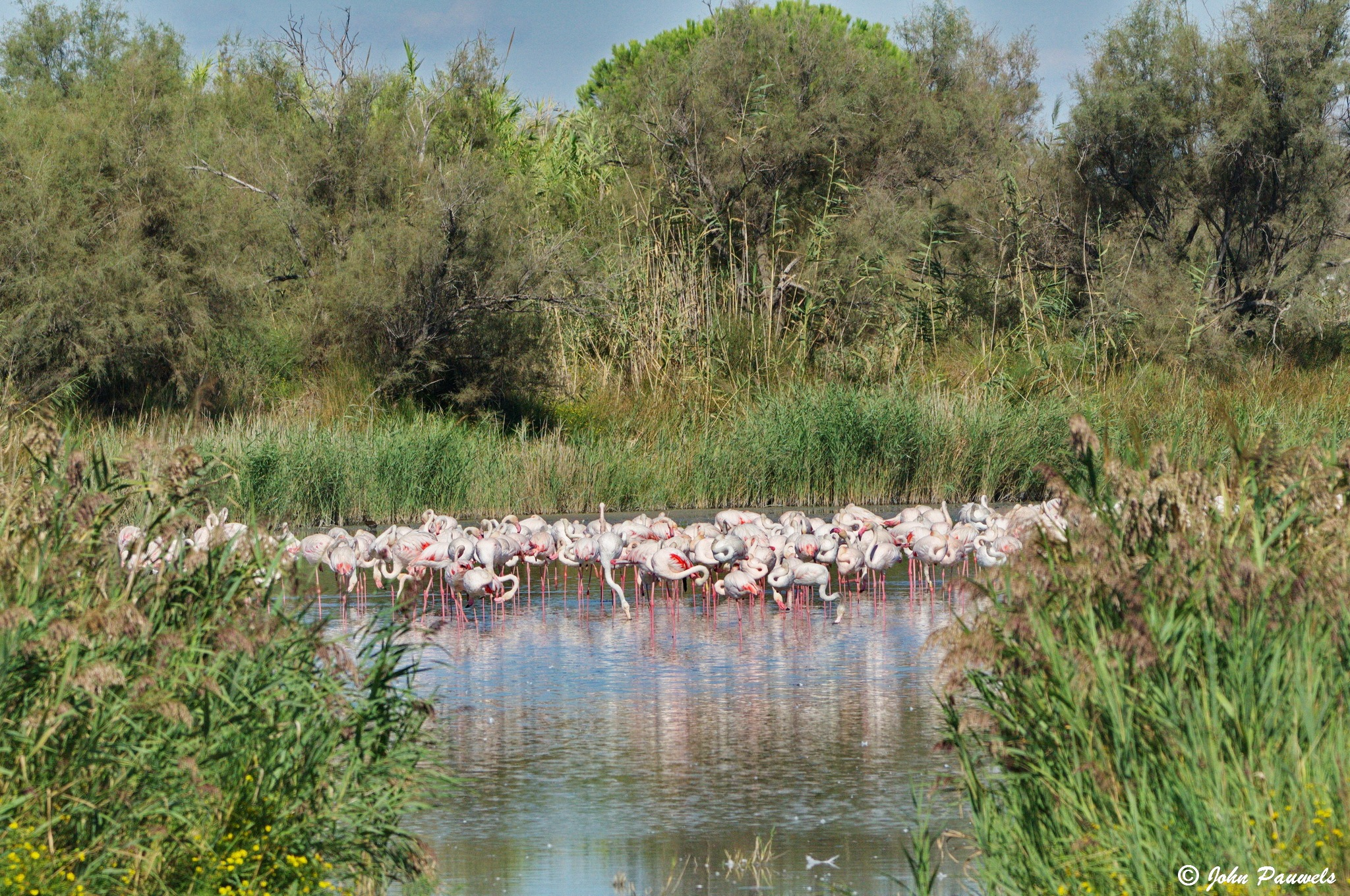 Pink flamigos in the Camargue. by John Pauwels