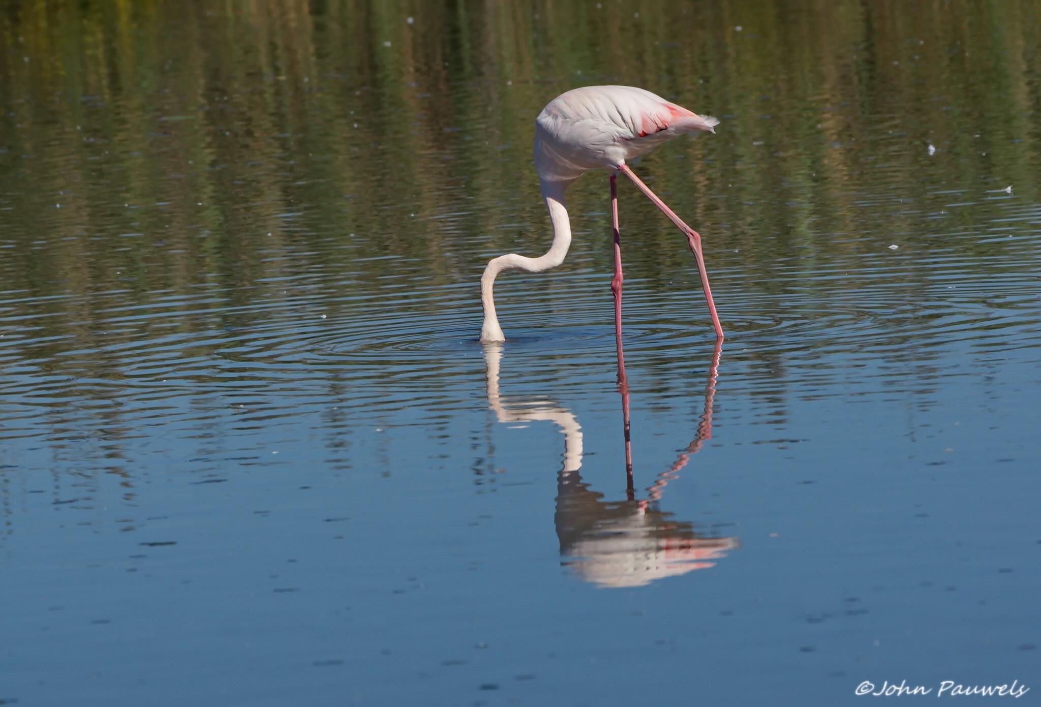 Pink flamingo. by John Pauwels