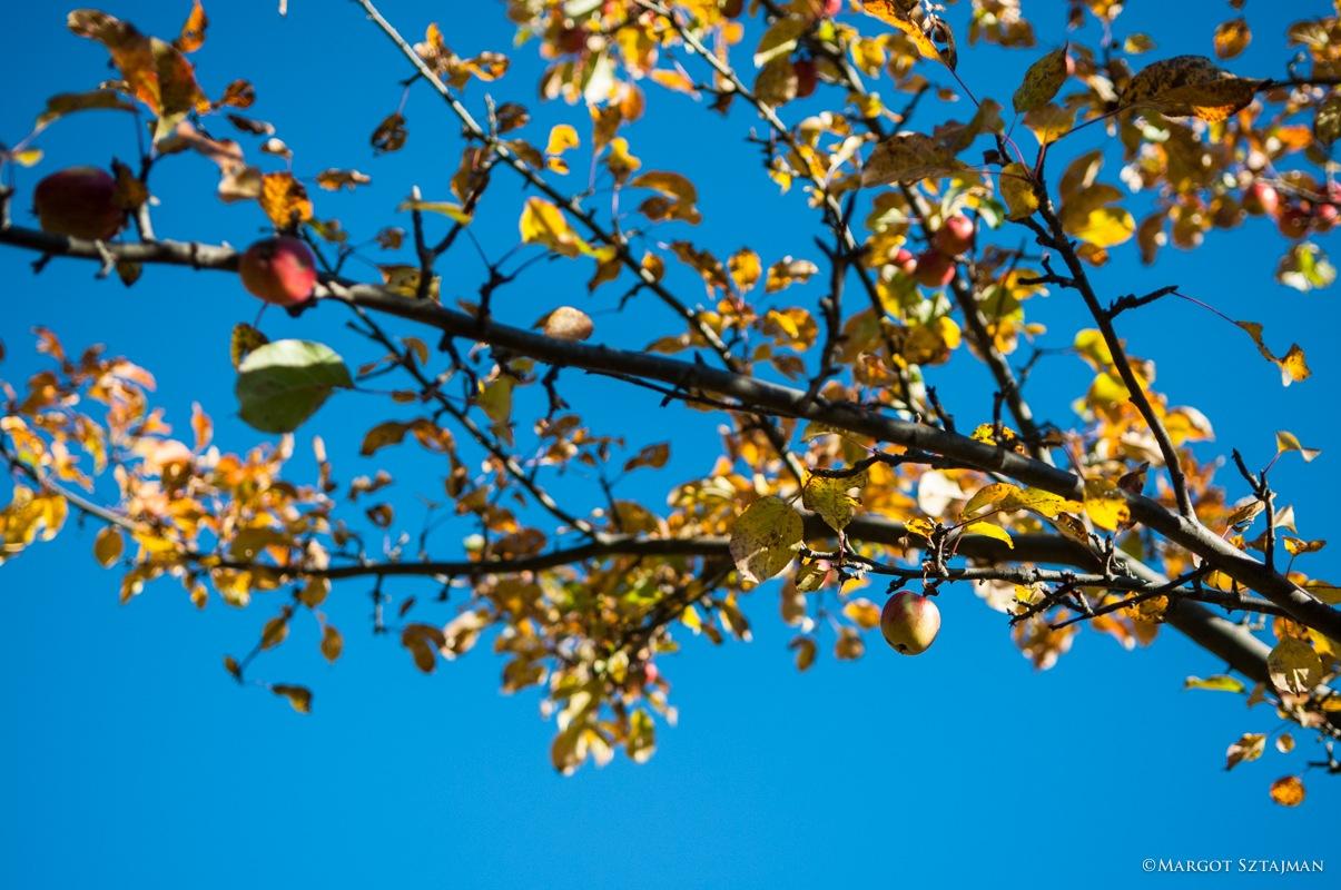 Apple of Fall by Margot Sztajman