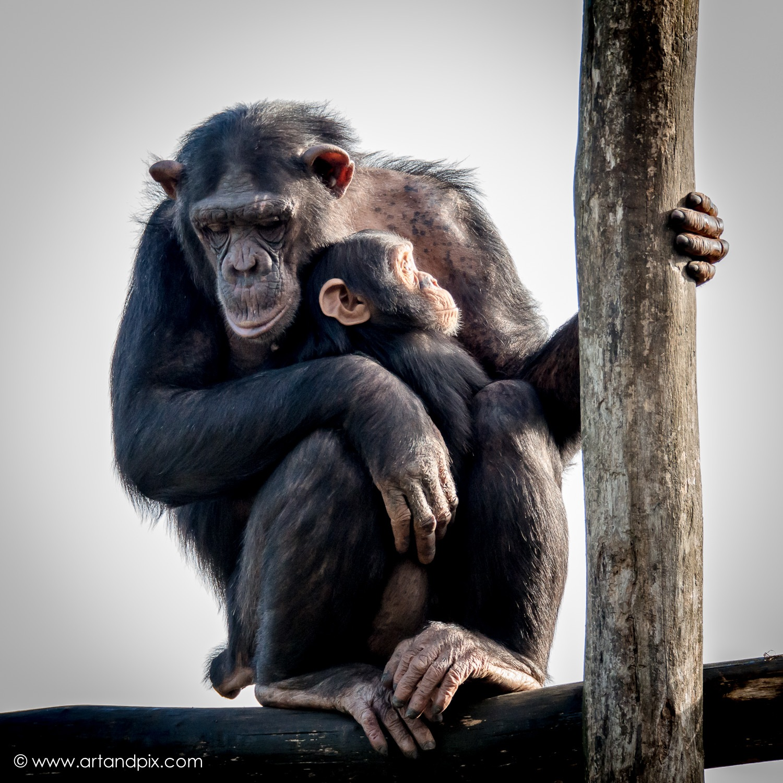 Bonobo's by GeertDoutreligne