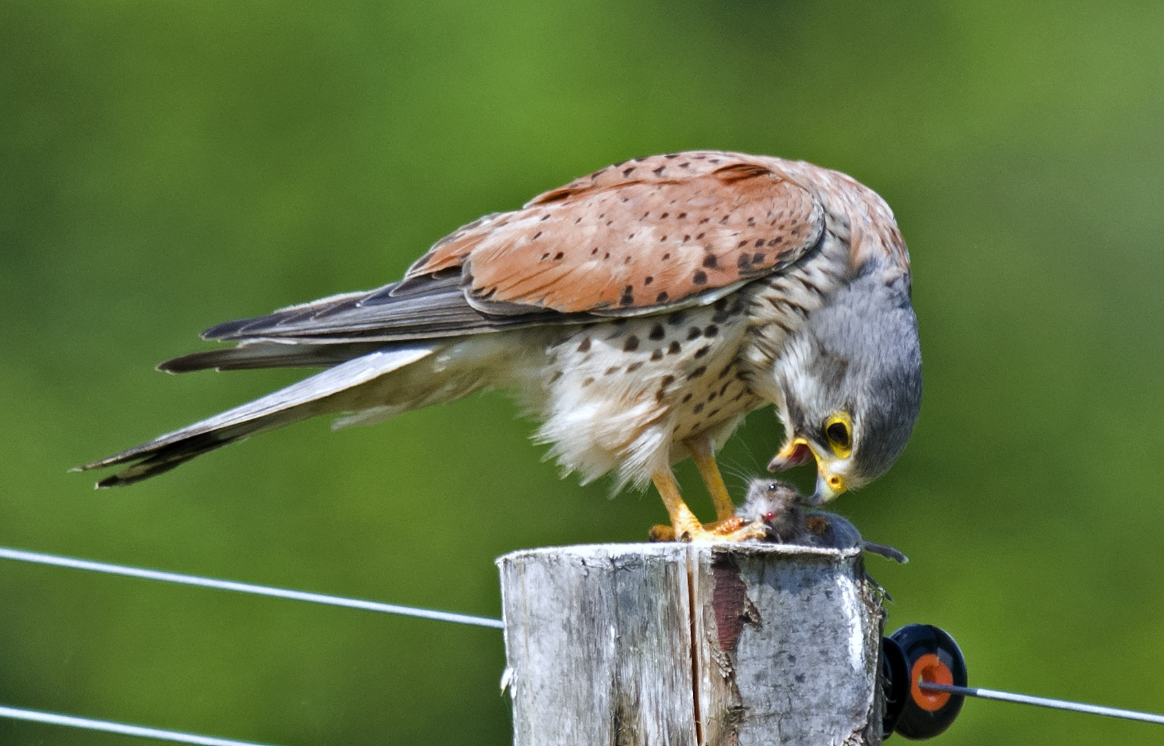 Kestrel with prey by mikeb3