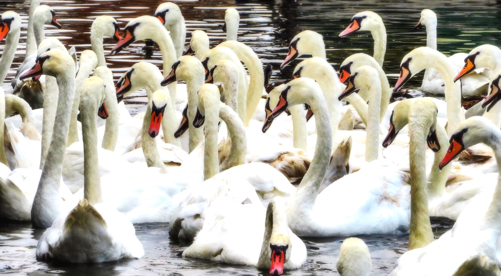 Swans by Charlie Tog