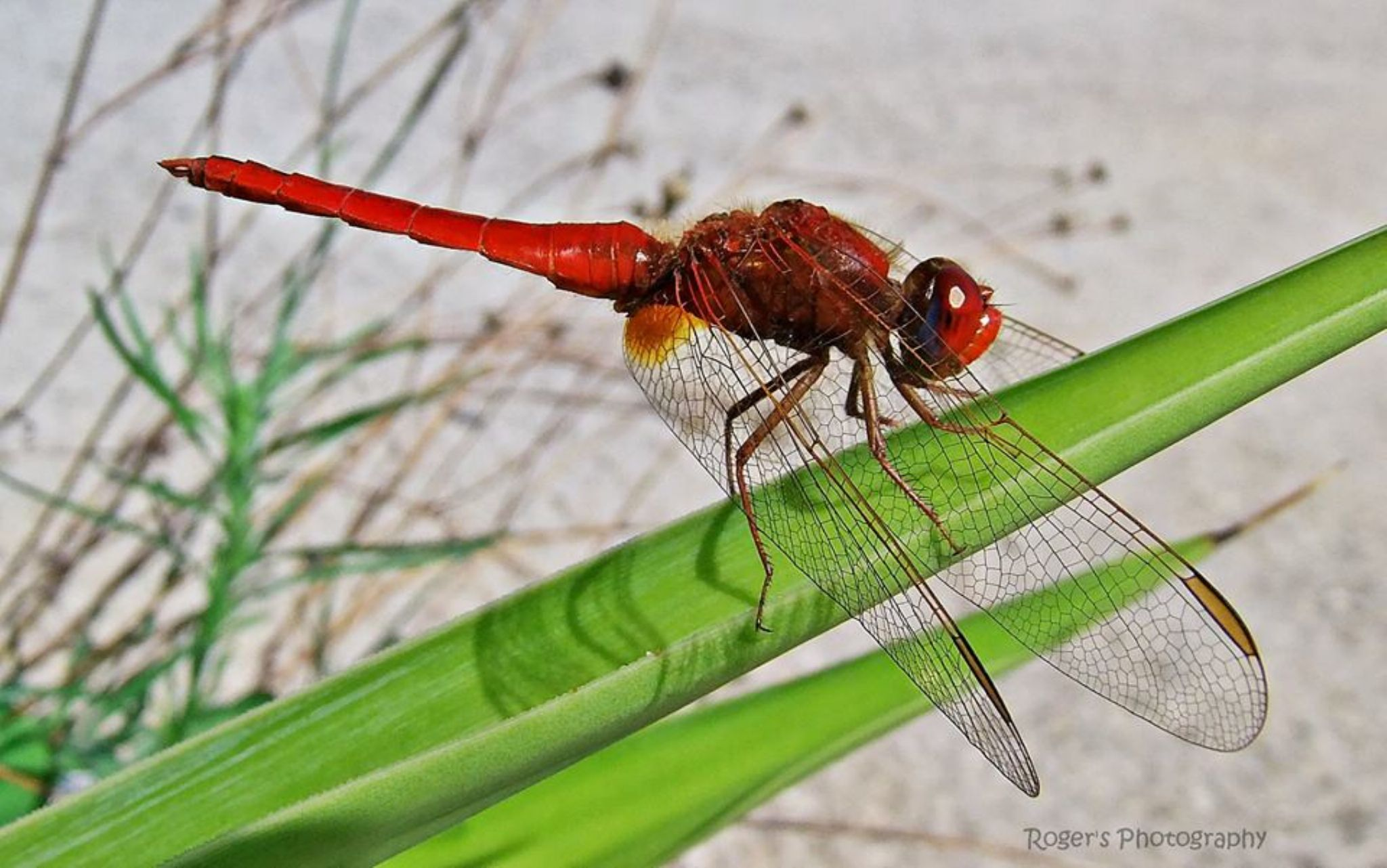 damselfly by Roger Photography