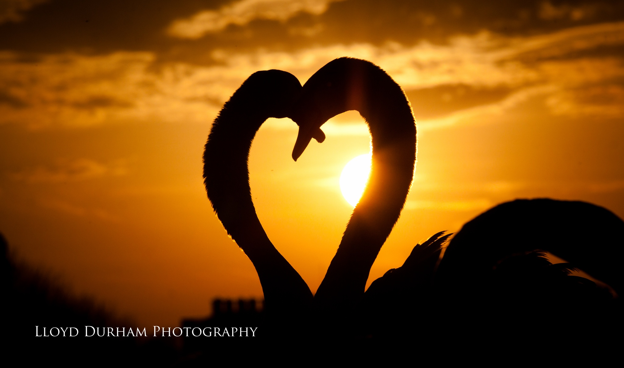 Photo in Animal #uk #england #london #united kingdom #surrey #capital #nature #natural #animal #animals #swan #bird #birds #fine art #silhouette #sunset #sun #dusk #glow #warm #summer #romance #love #heart #shape #symbol #romantic #male #female #dating #beautiful #rare #unique #perfect timing #canon #composition #gold #golden #golden hour #landscape #landscapes #neck #hampton court palace #hampton