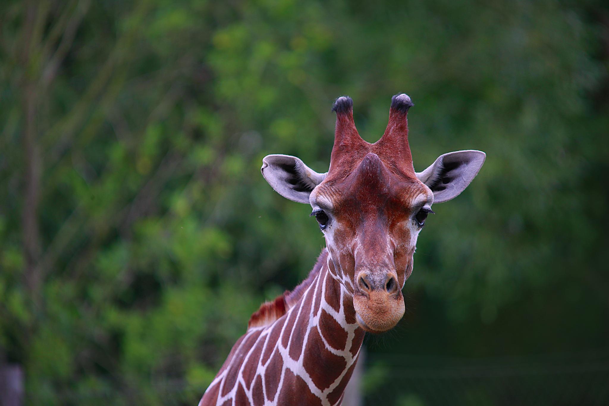 Giraffe portrait by Sonny Kraack