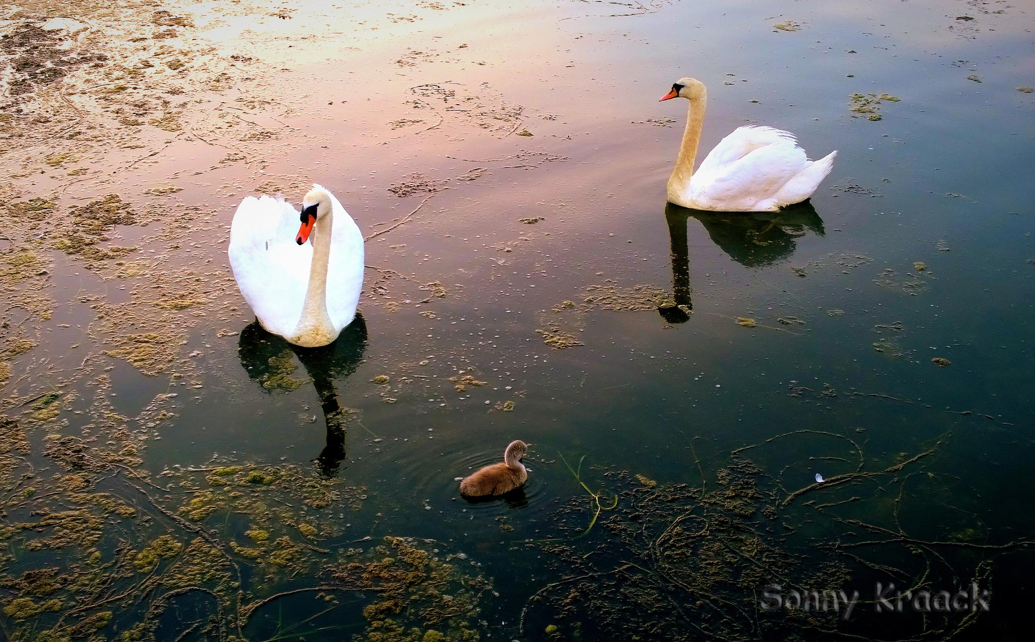 Swan Family by Sonny Kraack