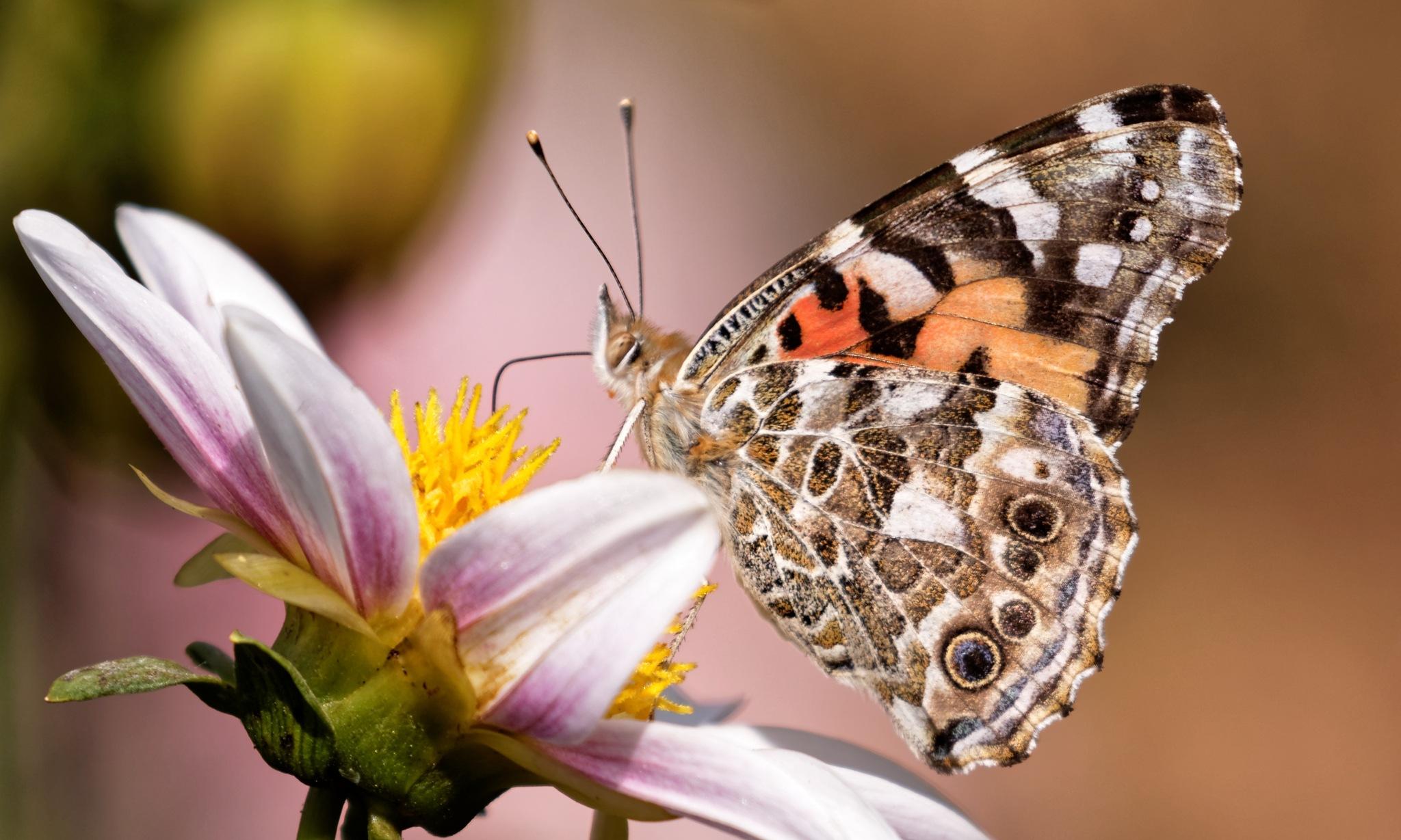 Butterfly 880 by RaphaelRaCcoon