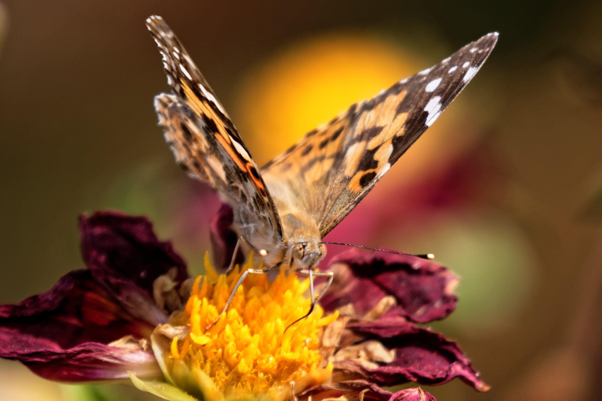 Butterfly 887 by RaphaelRaCcoon