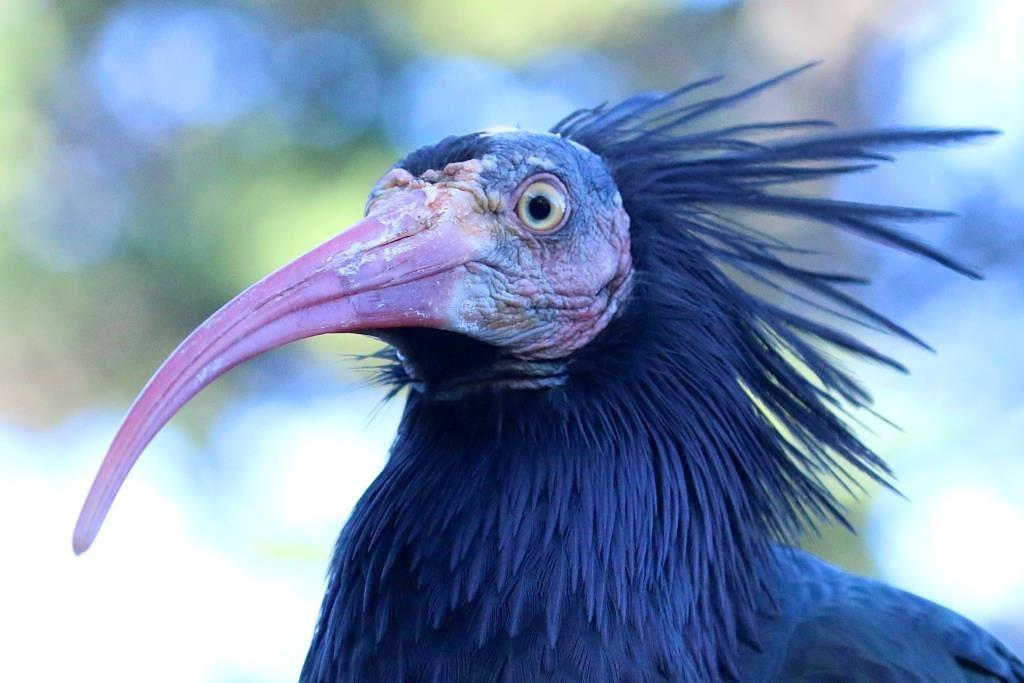 Ibis Look by RaphaelRaCcoon