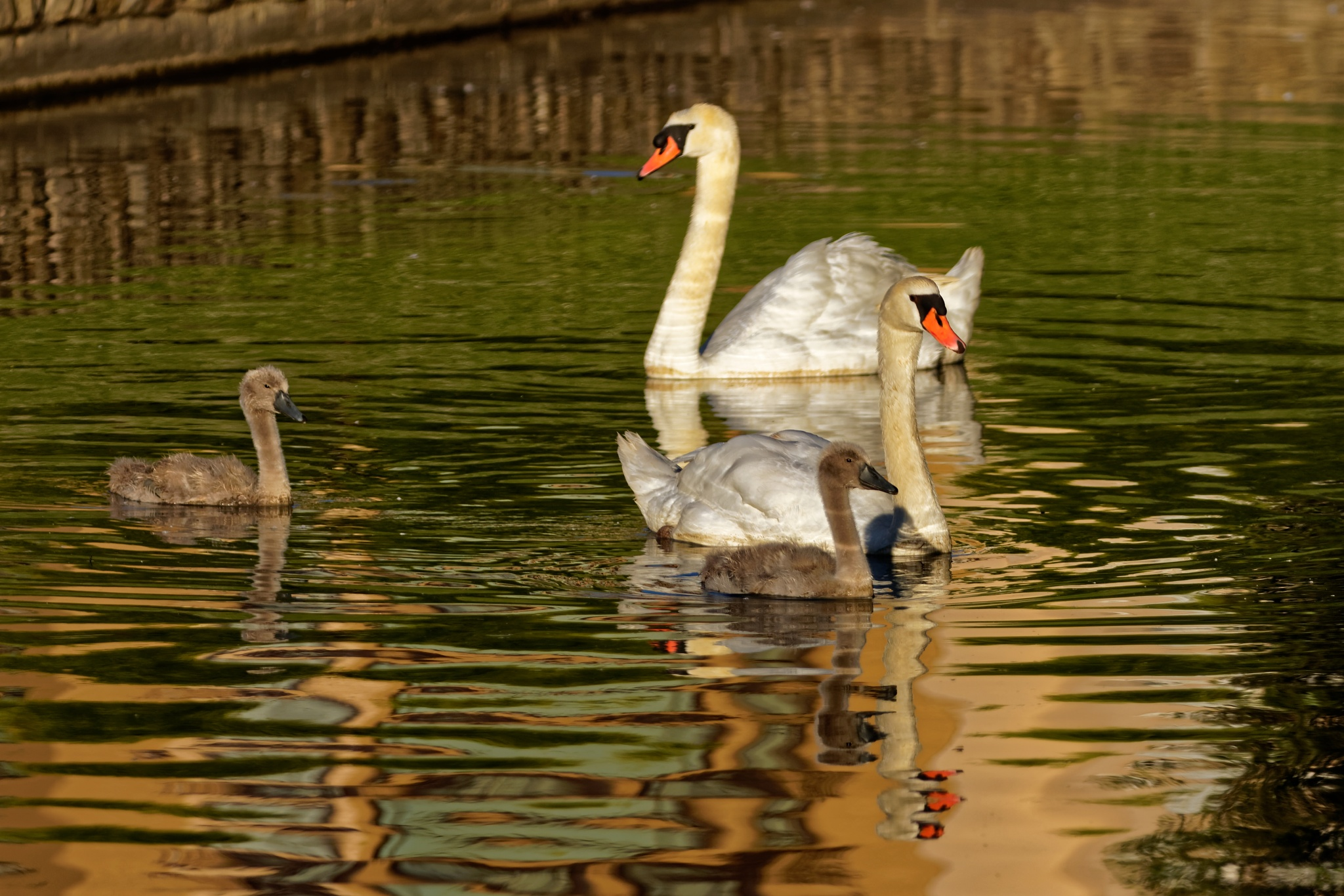 The Swan Family by Raphael RaCoon