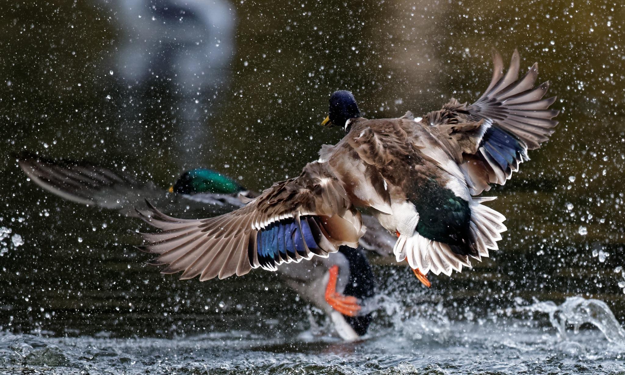 Duck Fight by RaphaelRaCcoon