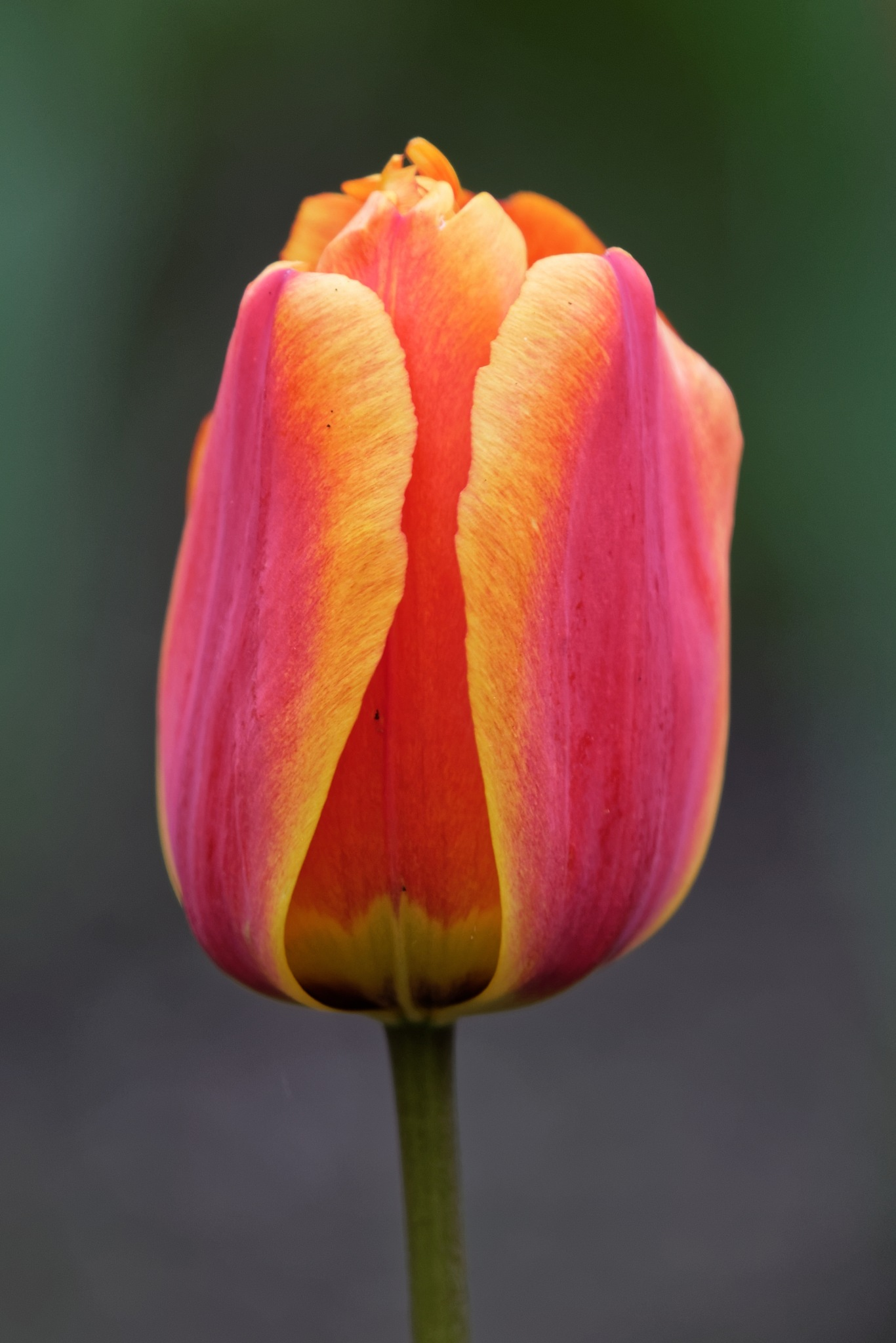 Tulip 99972 by RaphaelRaCcoon