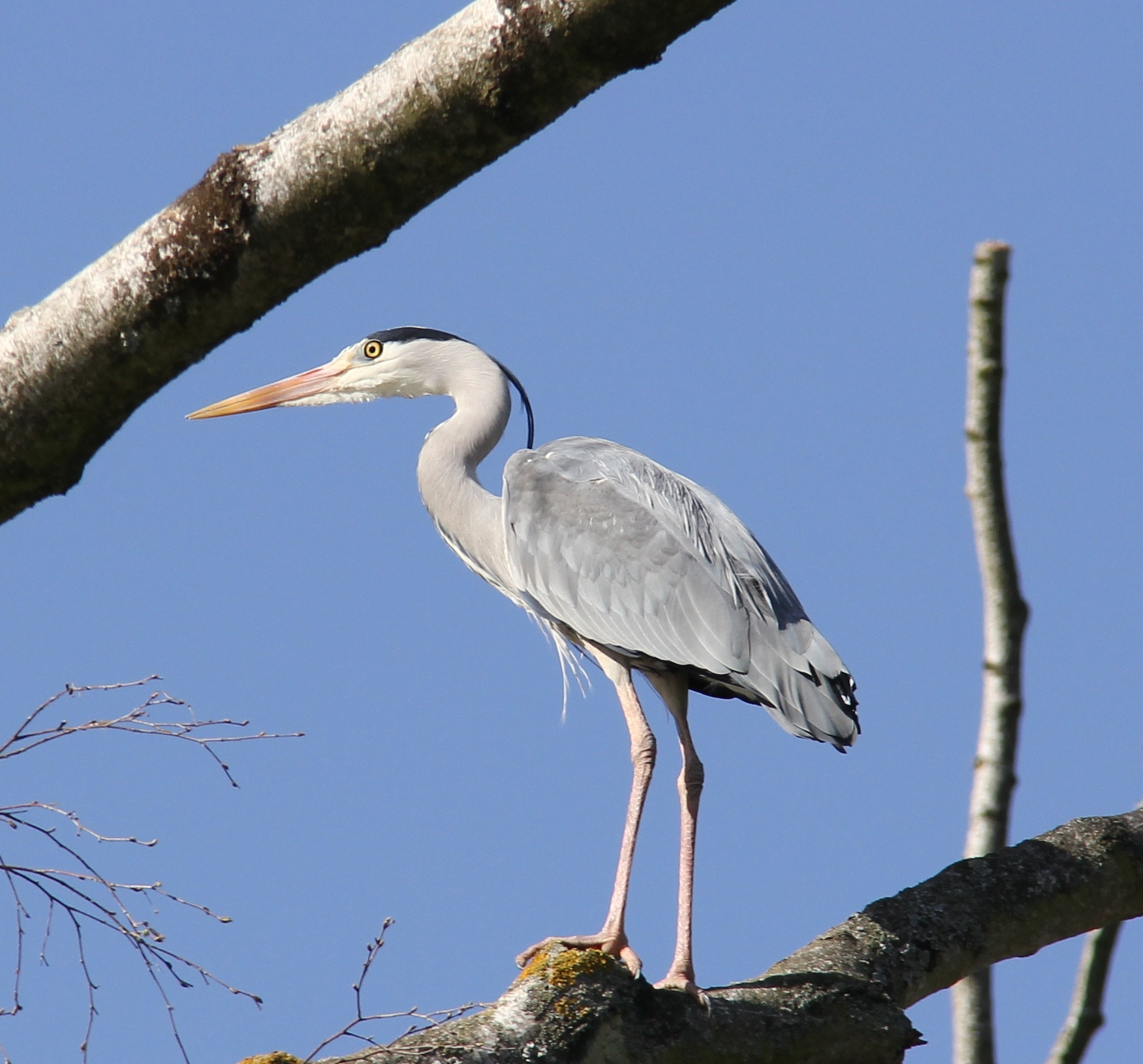Heron in a Tree by Ollie Smith
