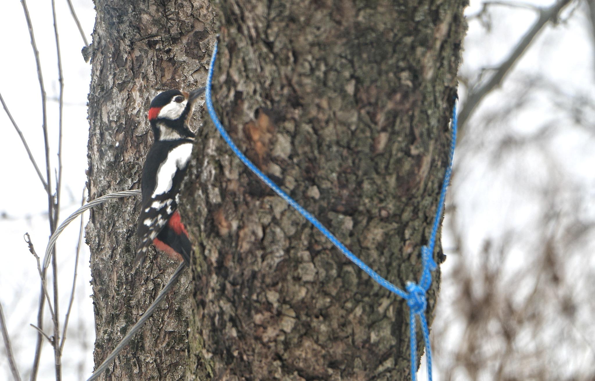 Woodpecker  by AP