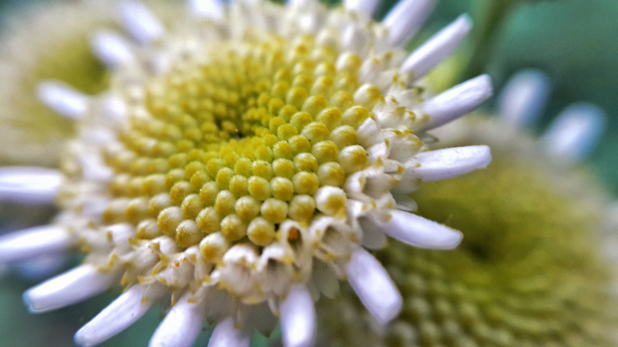 Camomile  by AP