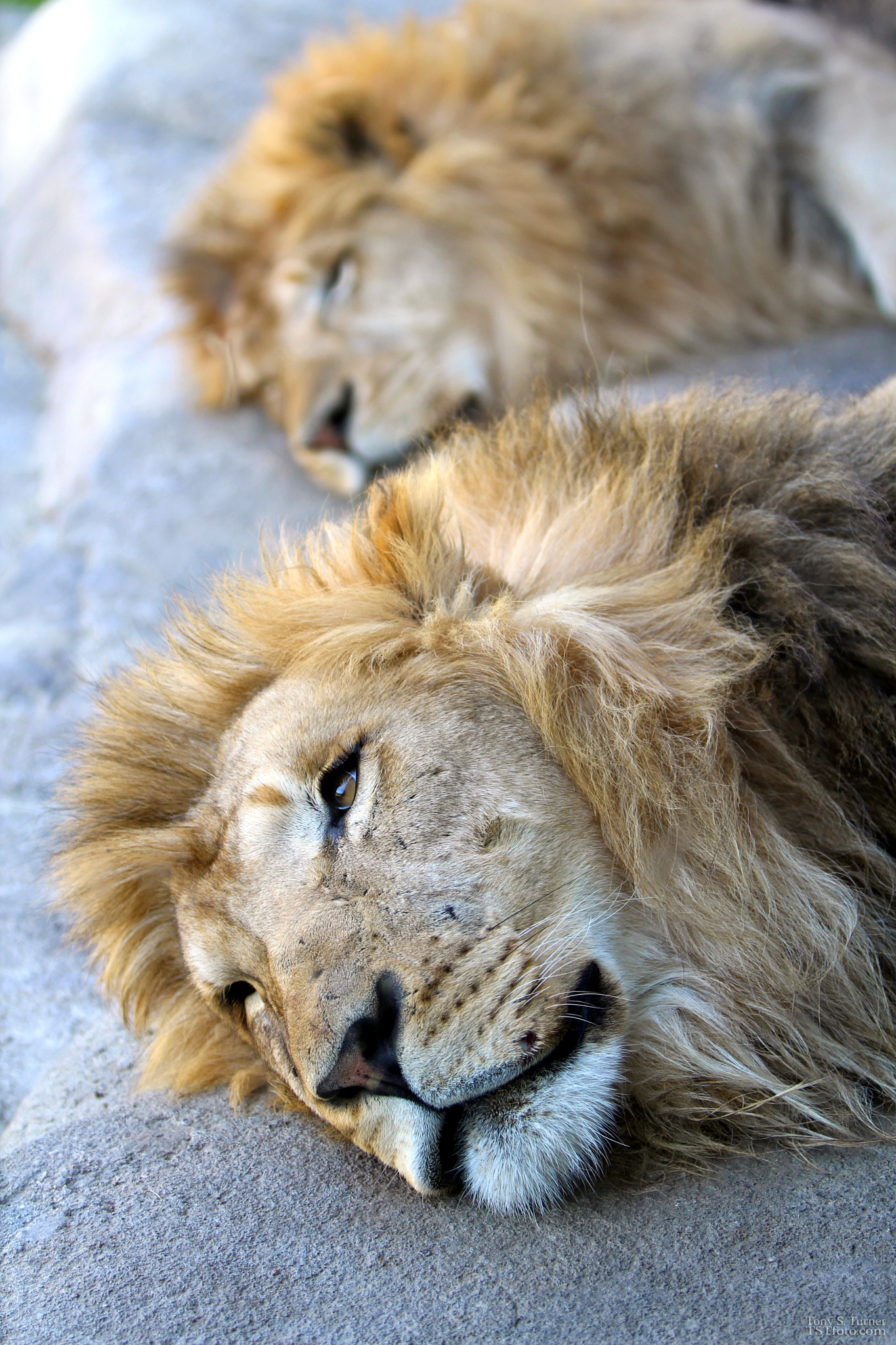 Lions by Tony S. Turner