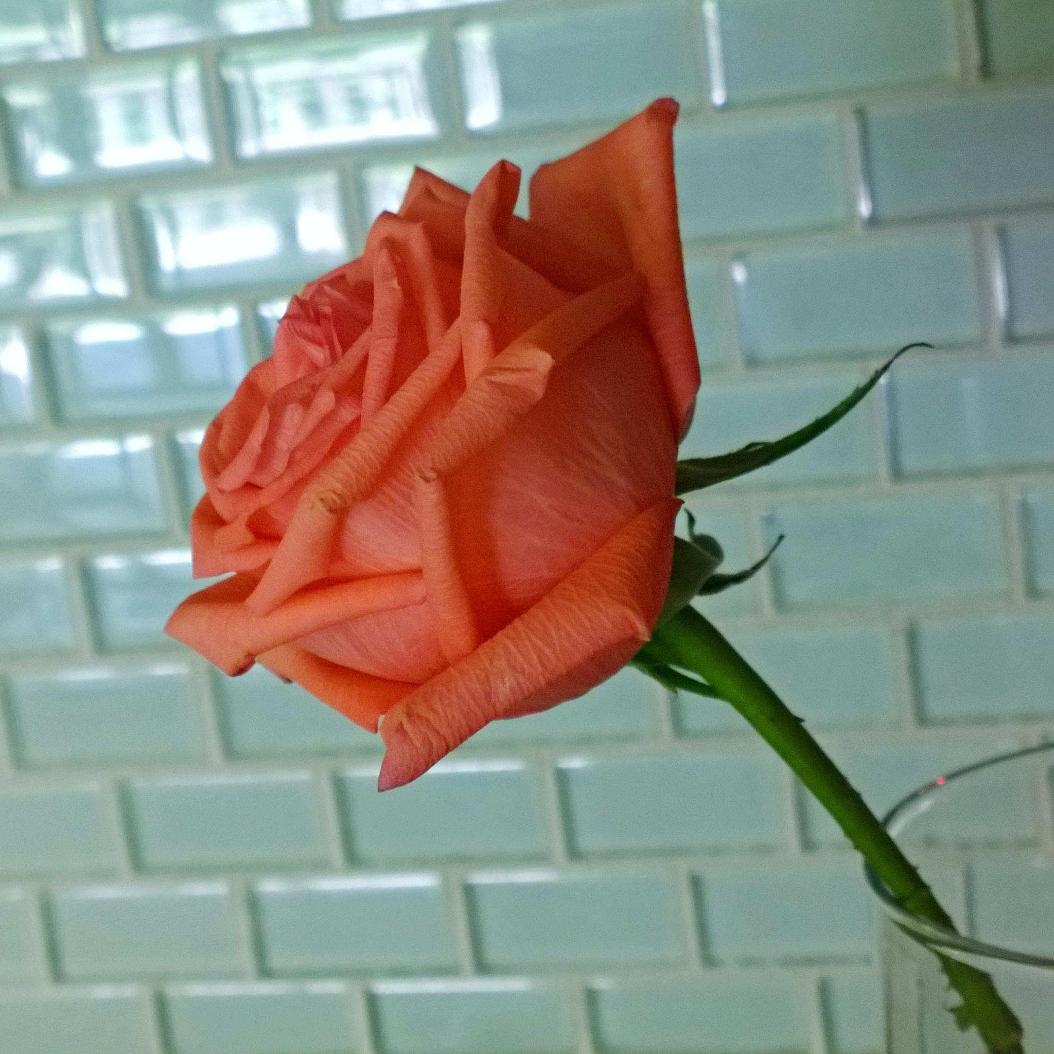 Rose.. by kabbosh
