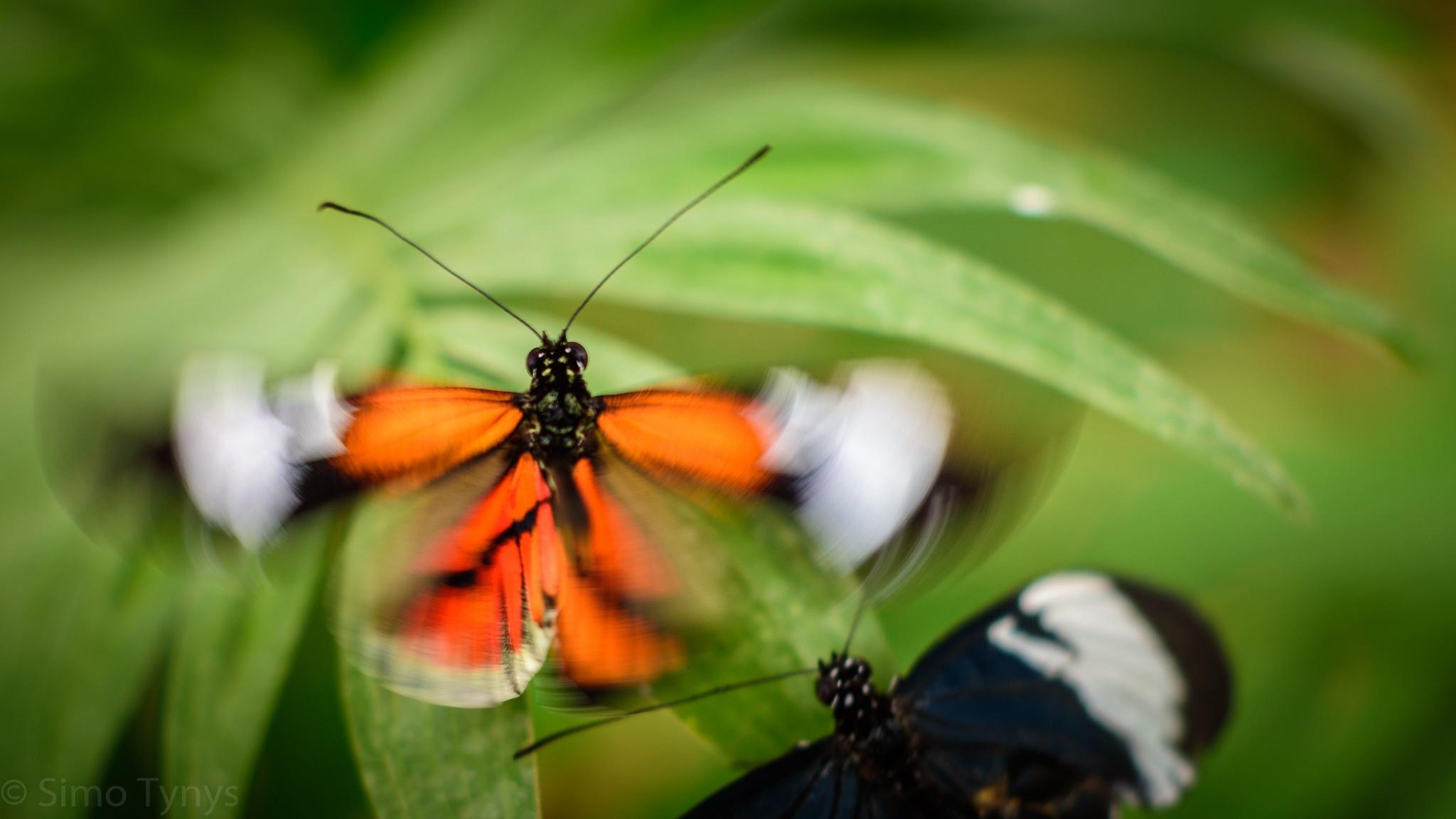 Butterflyaway by Simo Tynys