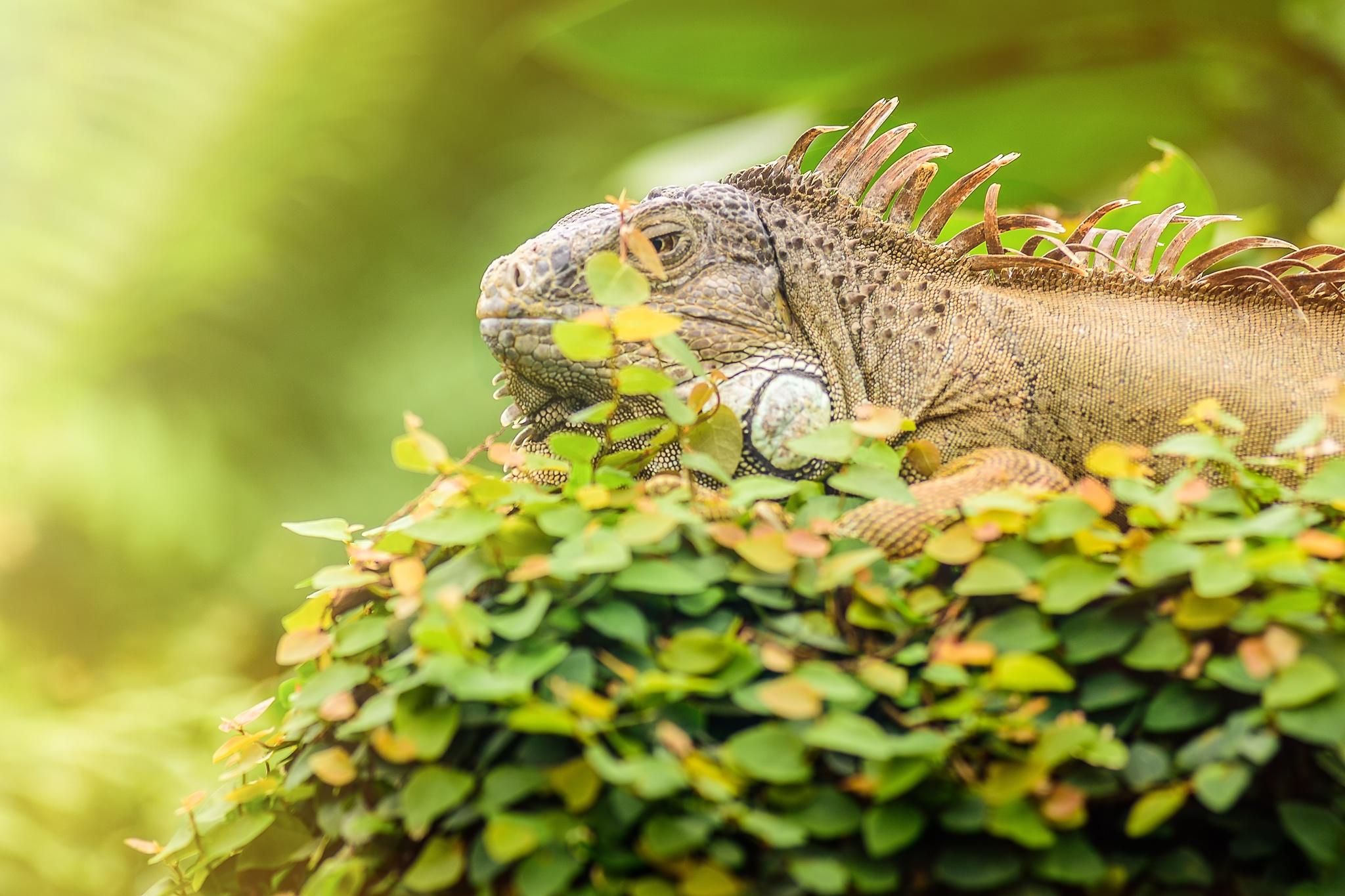 Photo in Animal #lizard #iguana #animal #wildlife #light #summer #sunny