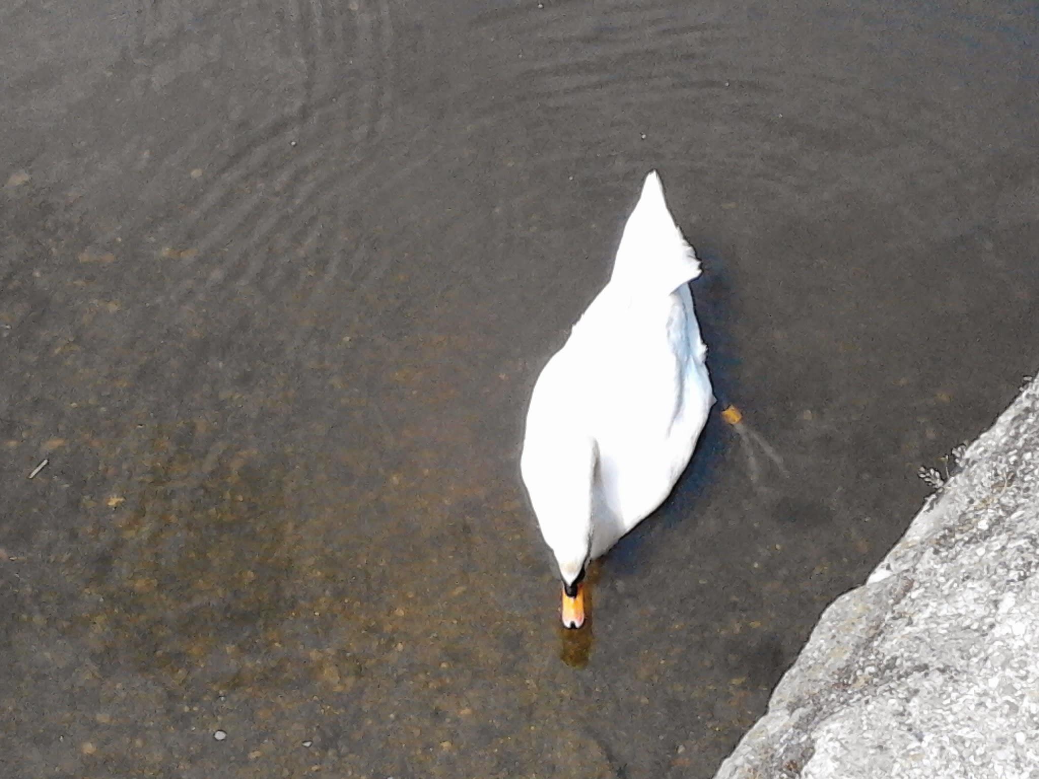 swan  by EmvaderSky