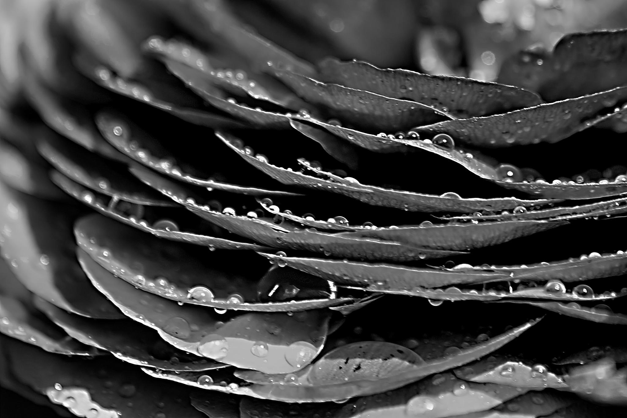 rain kissed petals  by jay clarke