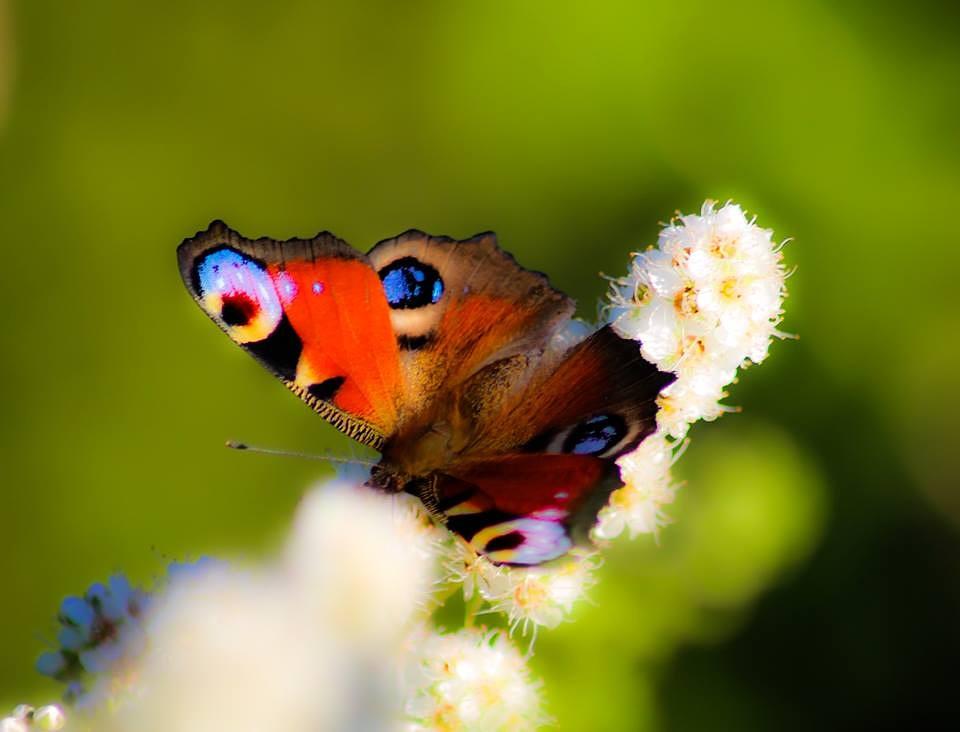 The Butterfly! by minashenrik