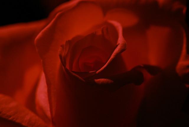 The blood red rose! by minashenrik