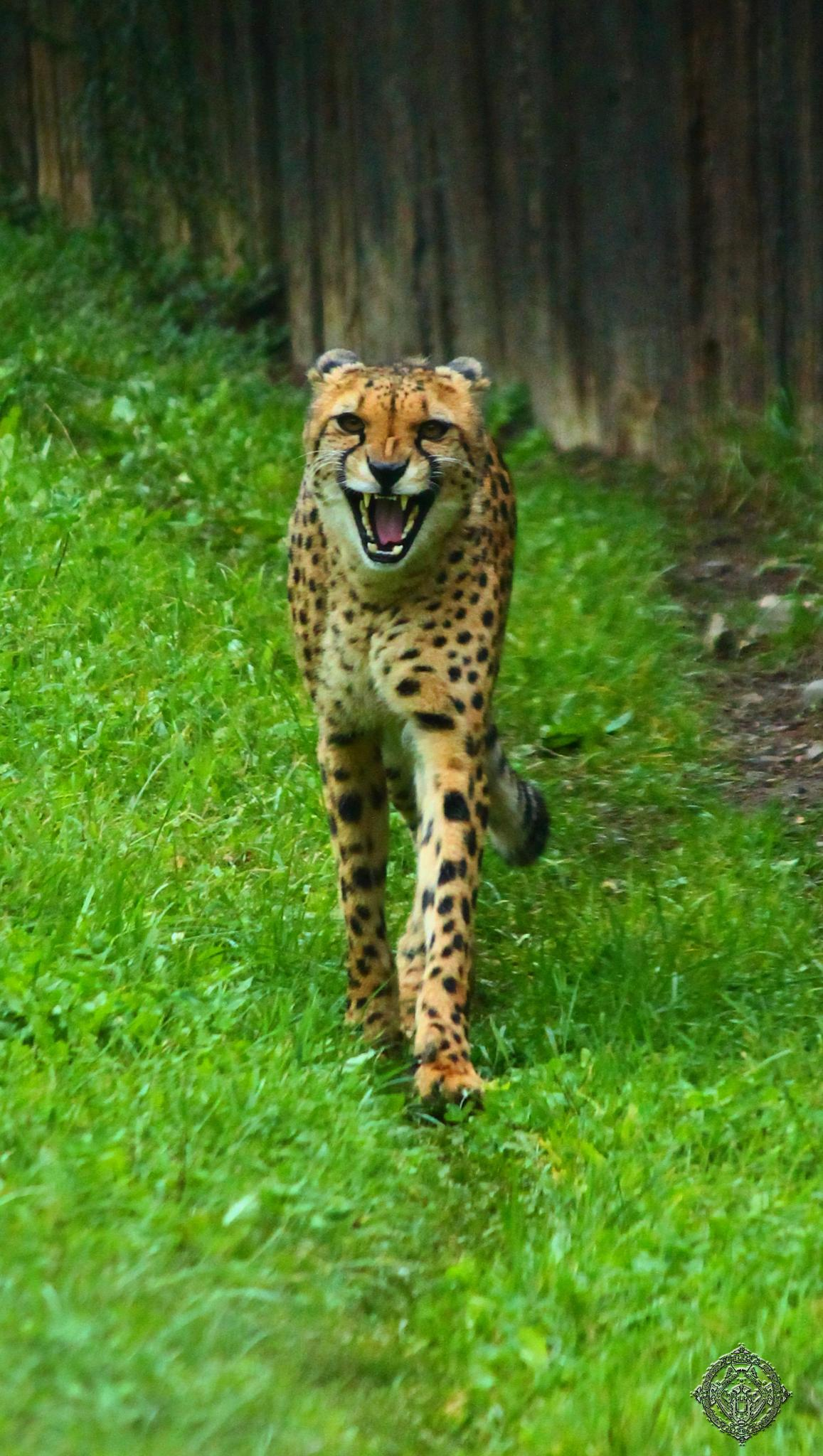 Photo in Animal #zoo #gepard #animal #wild #natural