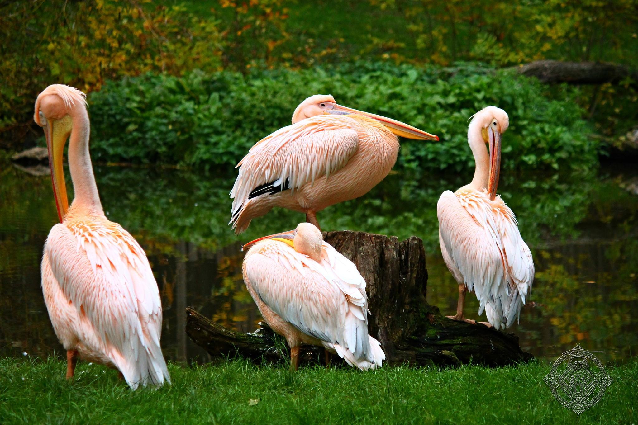 Photo in Animal #pelican #pelicans #animal #zoo #natural #wild #bird