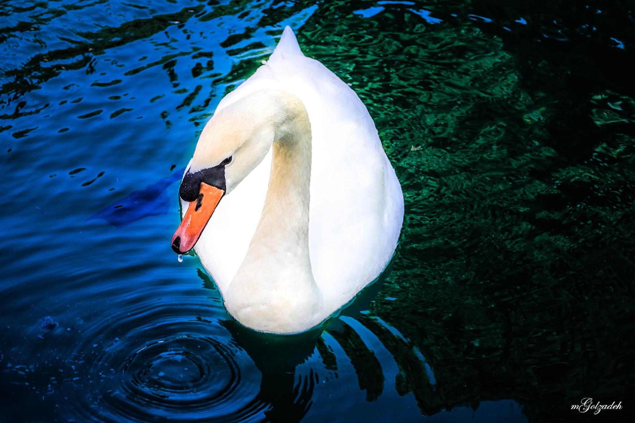 Swan by Mehdigol