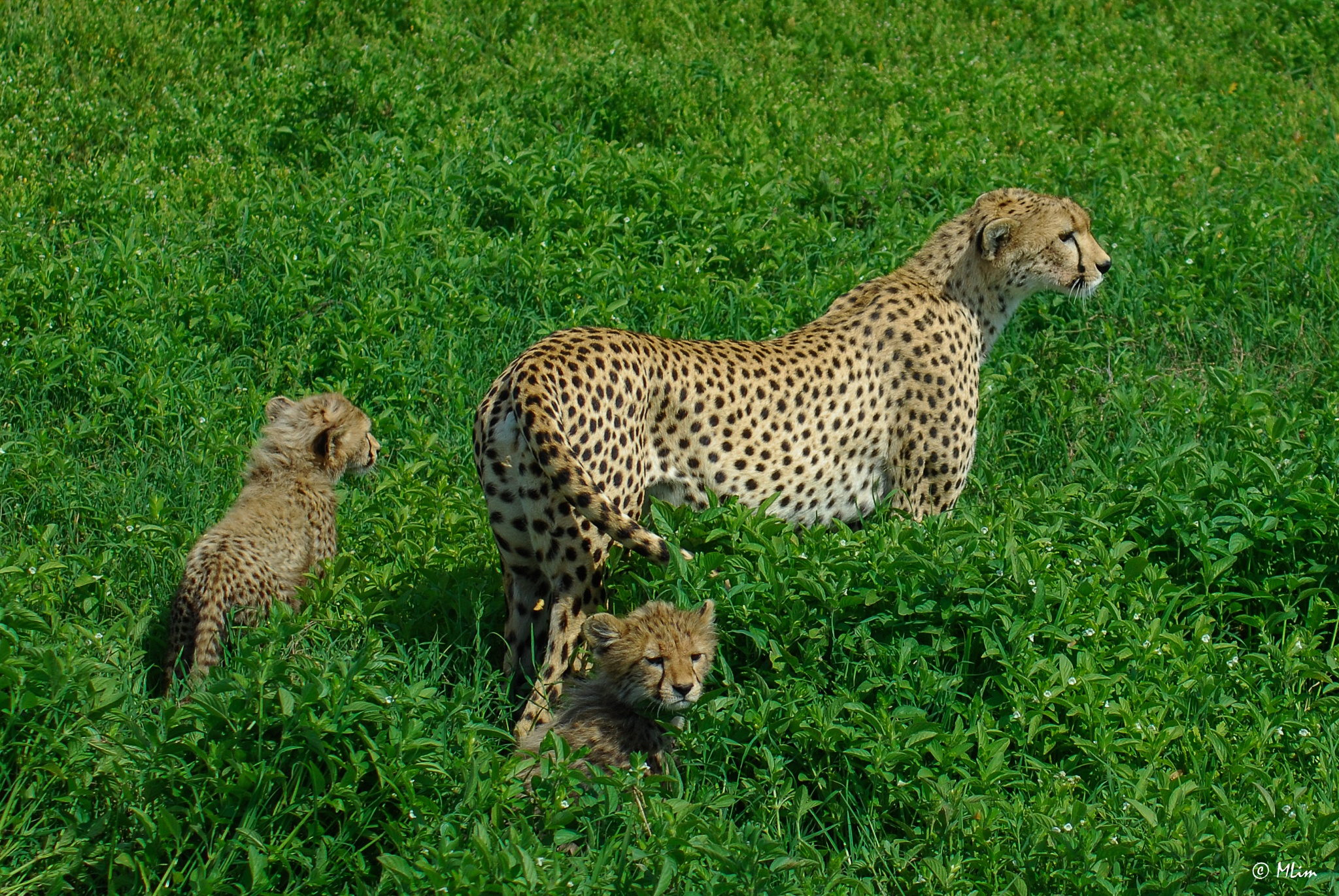 Cheetah with 2 cubs by Meng Lim