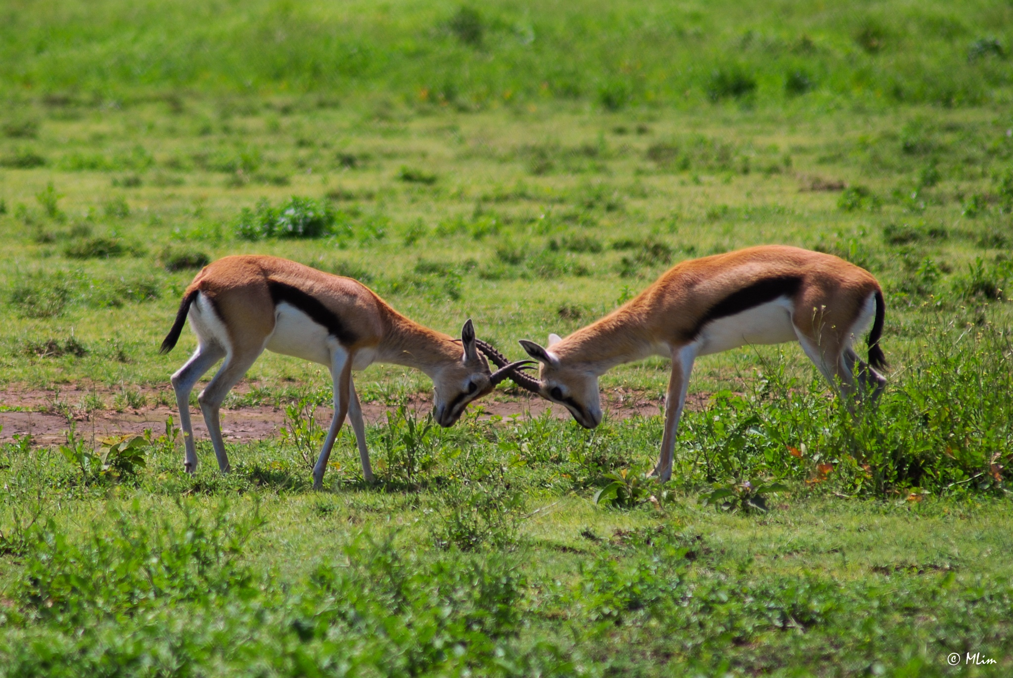 Thomson's Gazelle Jostling by Meng Lim