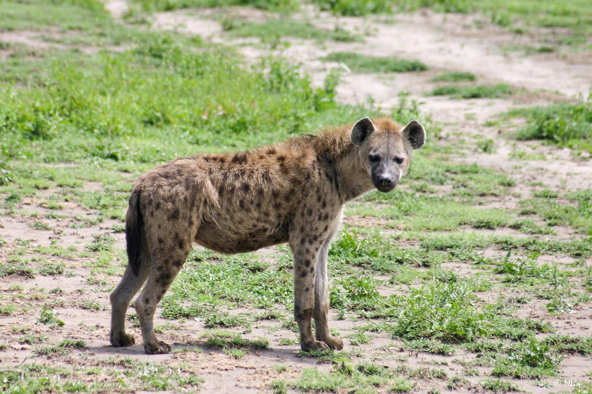 Hyena by Meng Lim