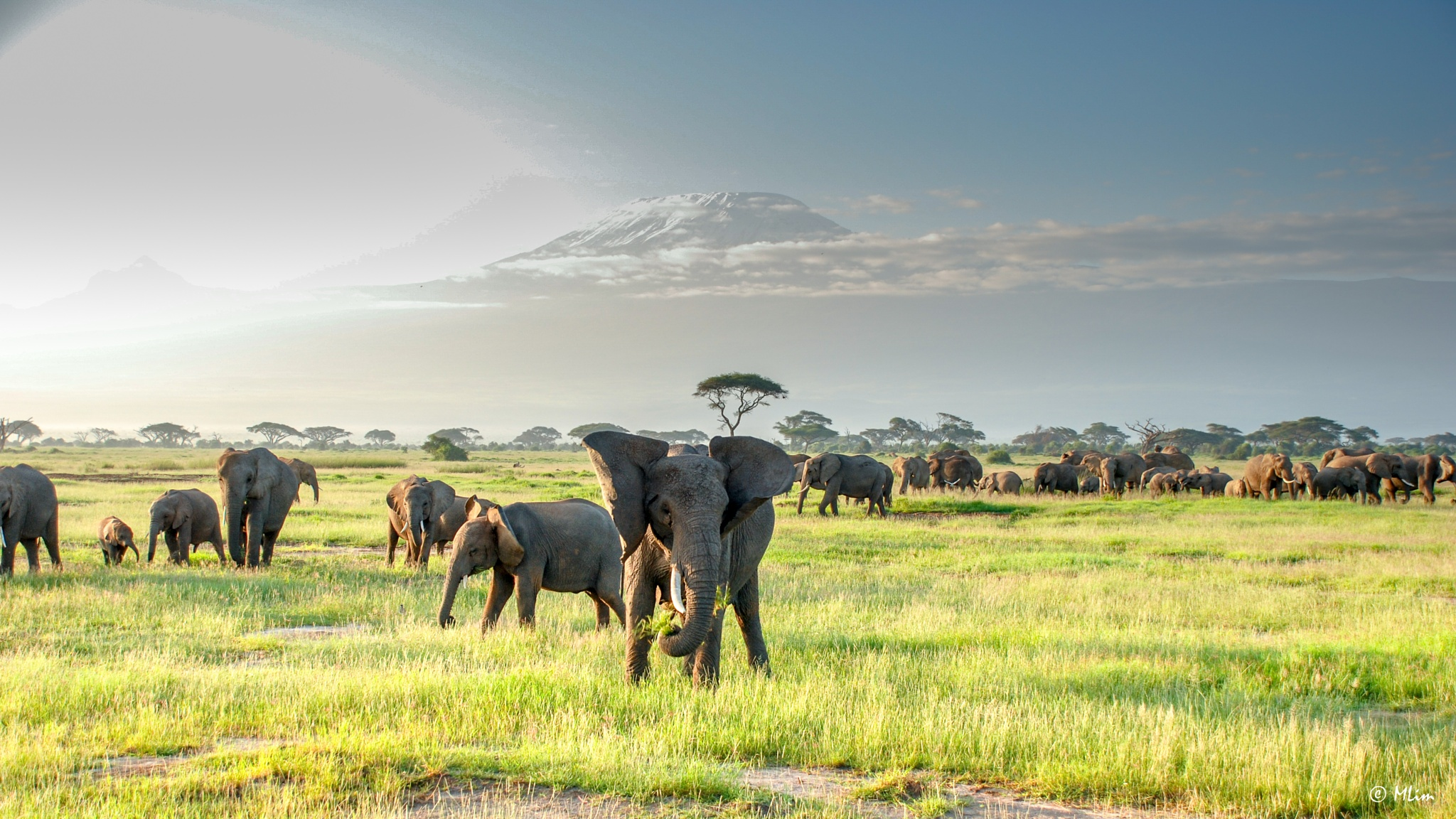 Elephants by Meng Lim