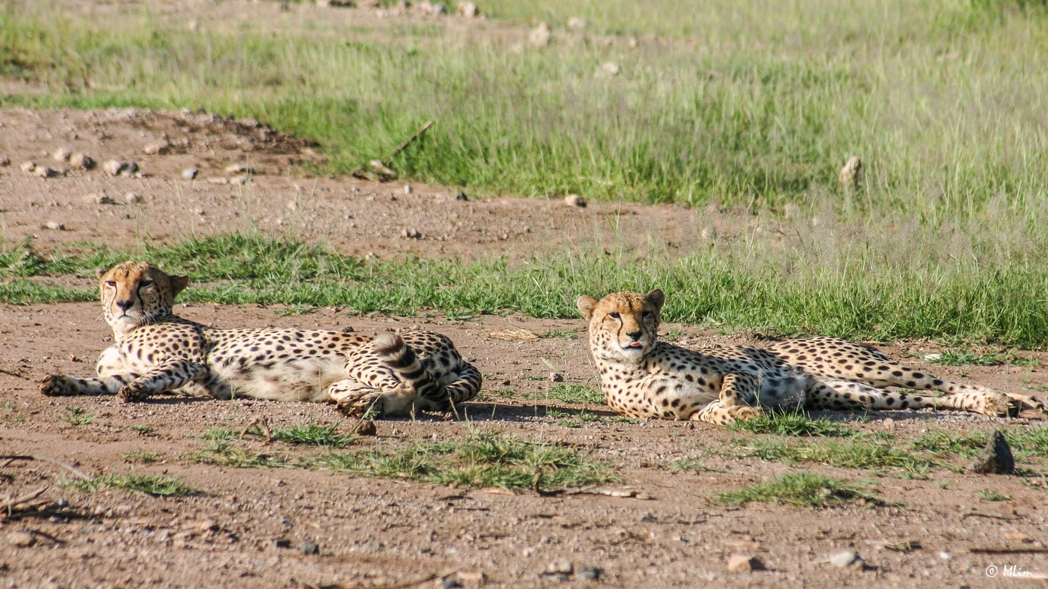 A pair of Cheetahs by Meng Lim
