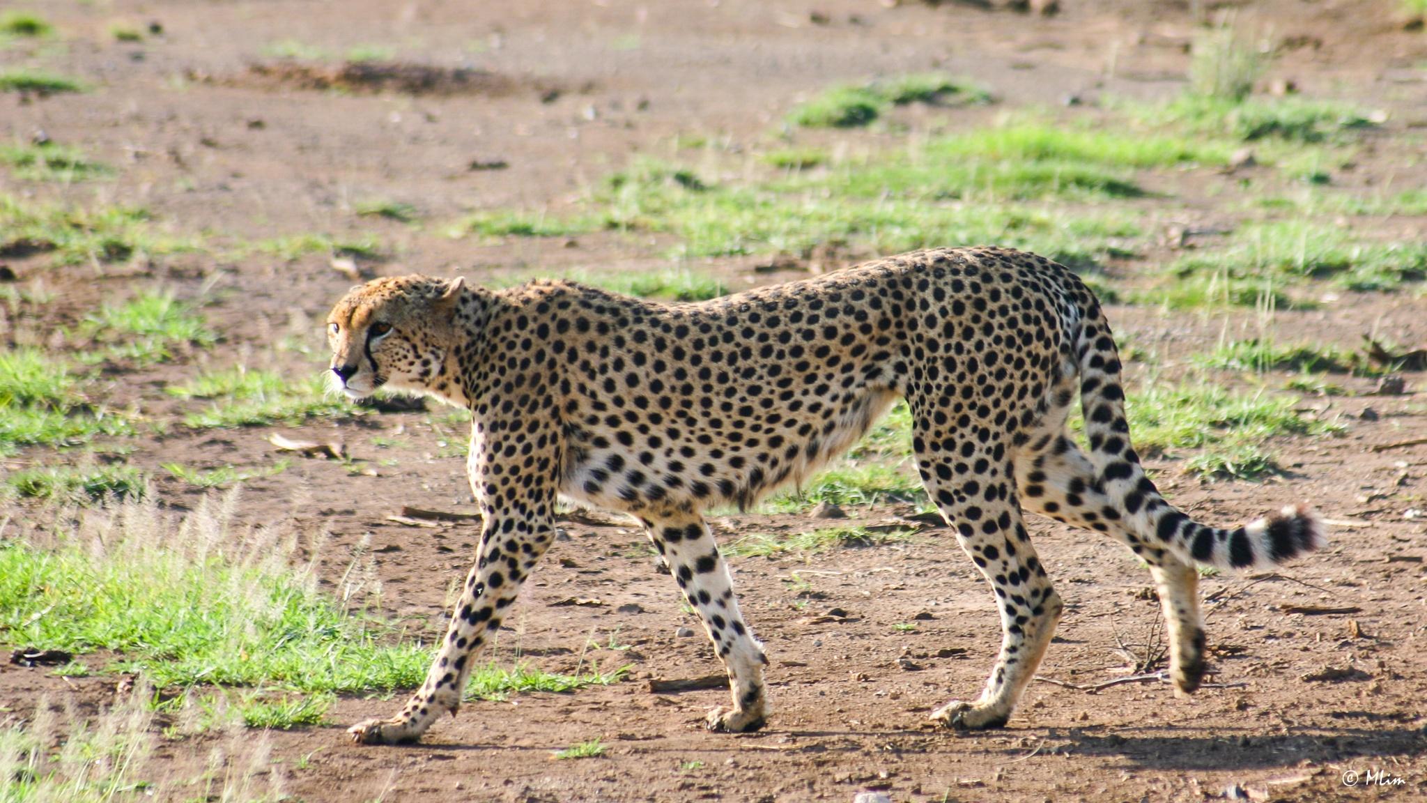 Cheetah by Meng Lim