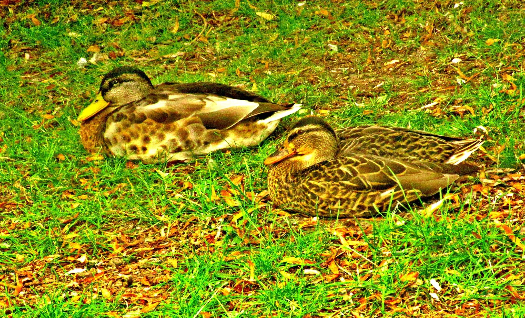 Ducks by Monique van Ruiven