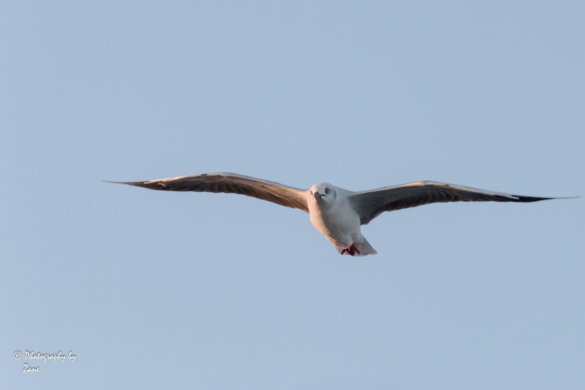 Hovering Seagull by Zane Botha