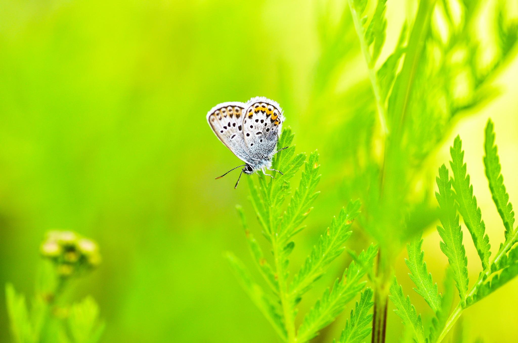 bluewing  by Niclaskrog