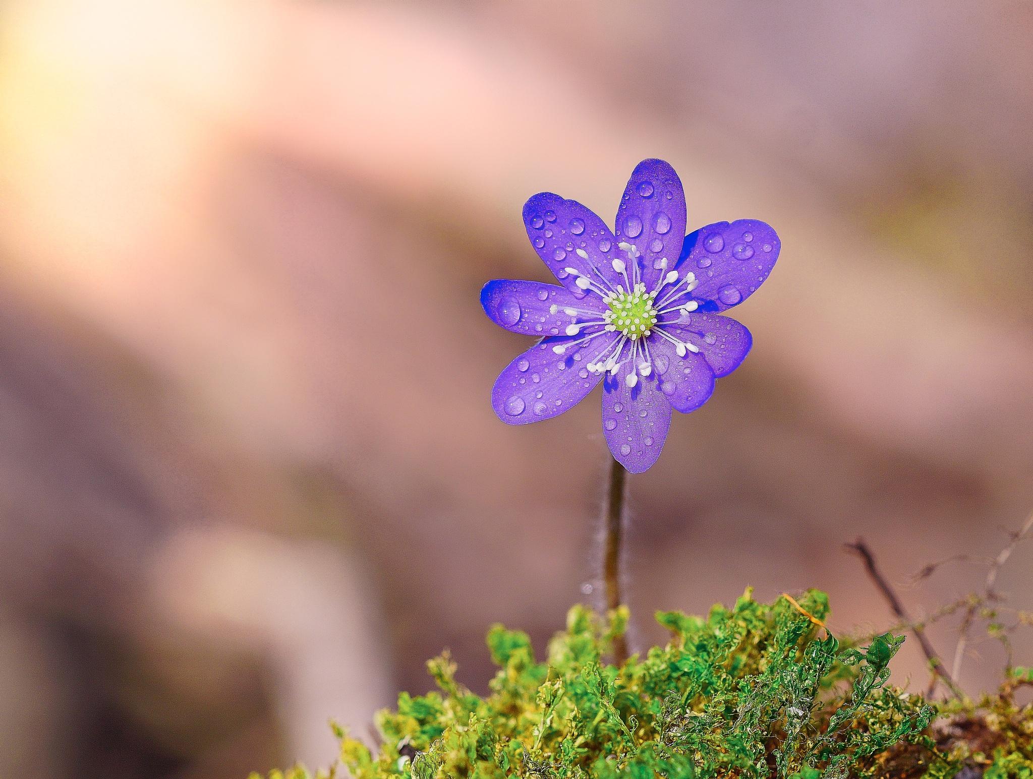 Anemone Hepatica by Niclaskrog