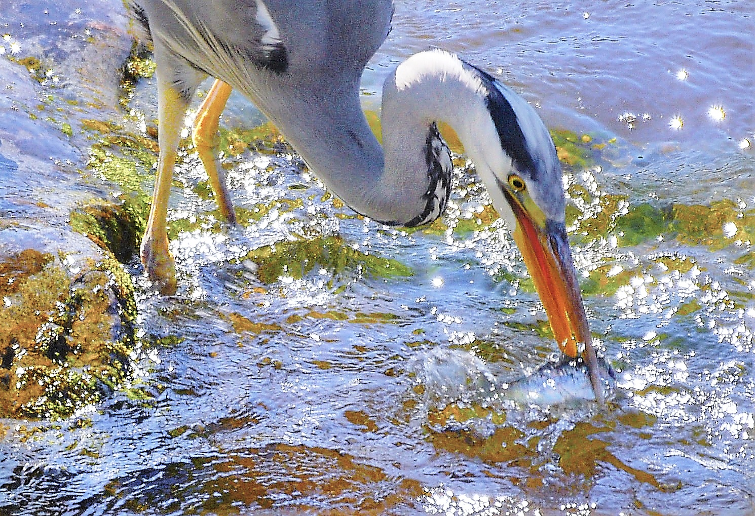 Photo in Animal #heron #fish #fishing #water #bird #animal #stream #wildlife