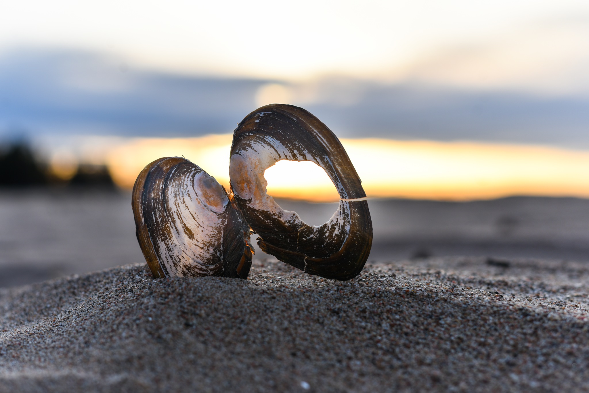 seashell by Niclaskrog